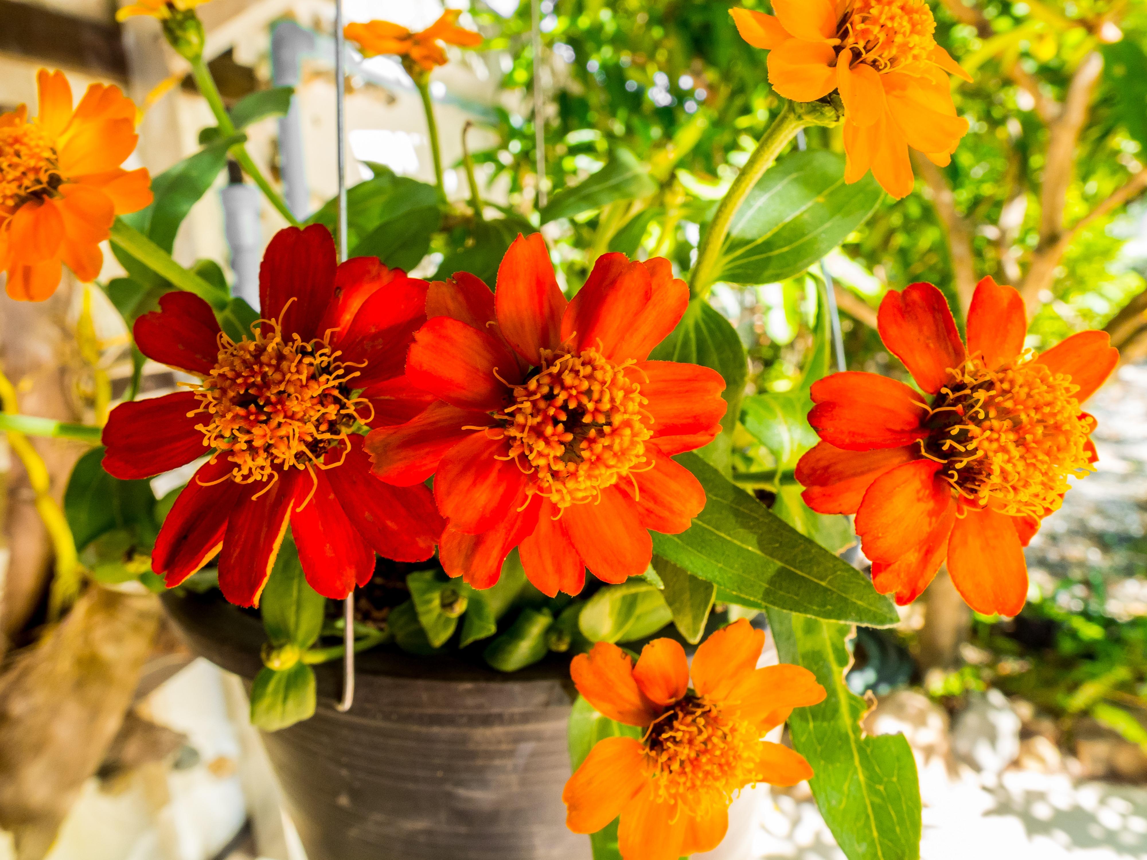 Super Banco de imagens : plantar, folha, flor, pétala, laranja, vermelho  DC34