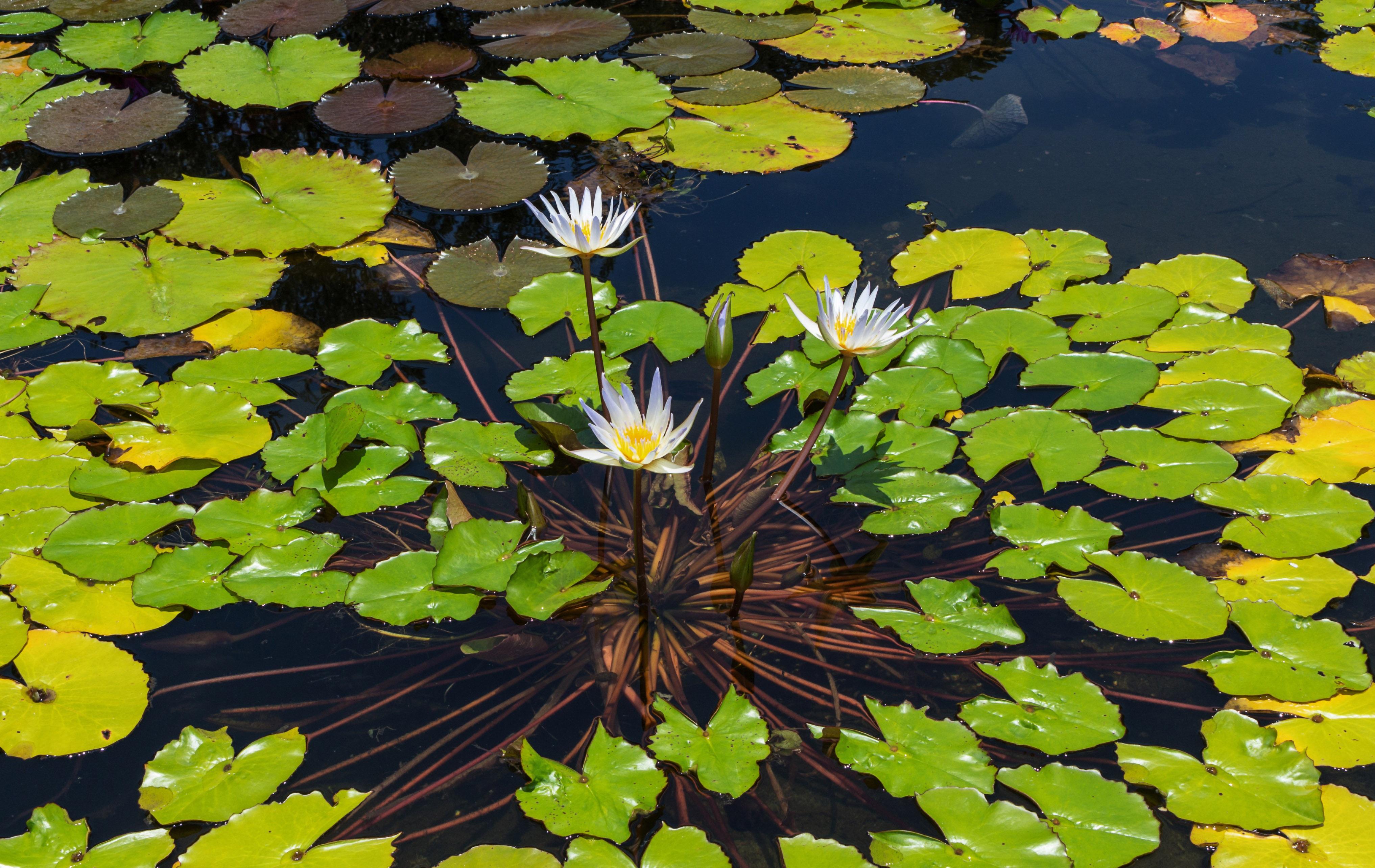еще адвокат растения пресноводных водоемов фото вороне близко