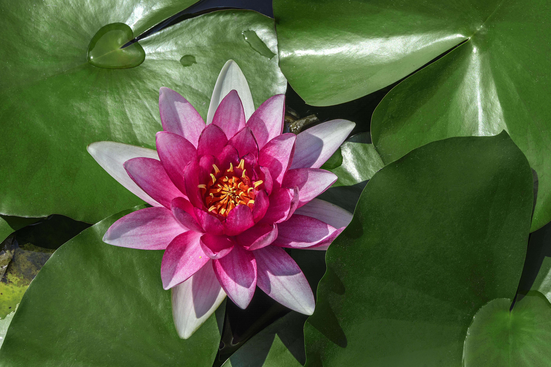 Free Images Leaf Flower Petal Green Botany Sacred Lotus