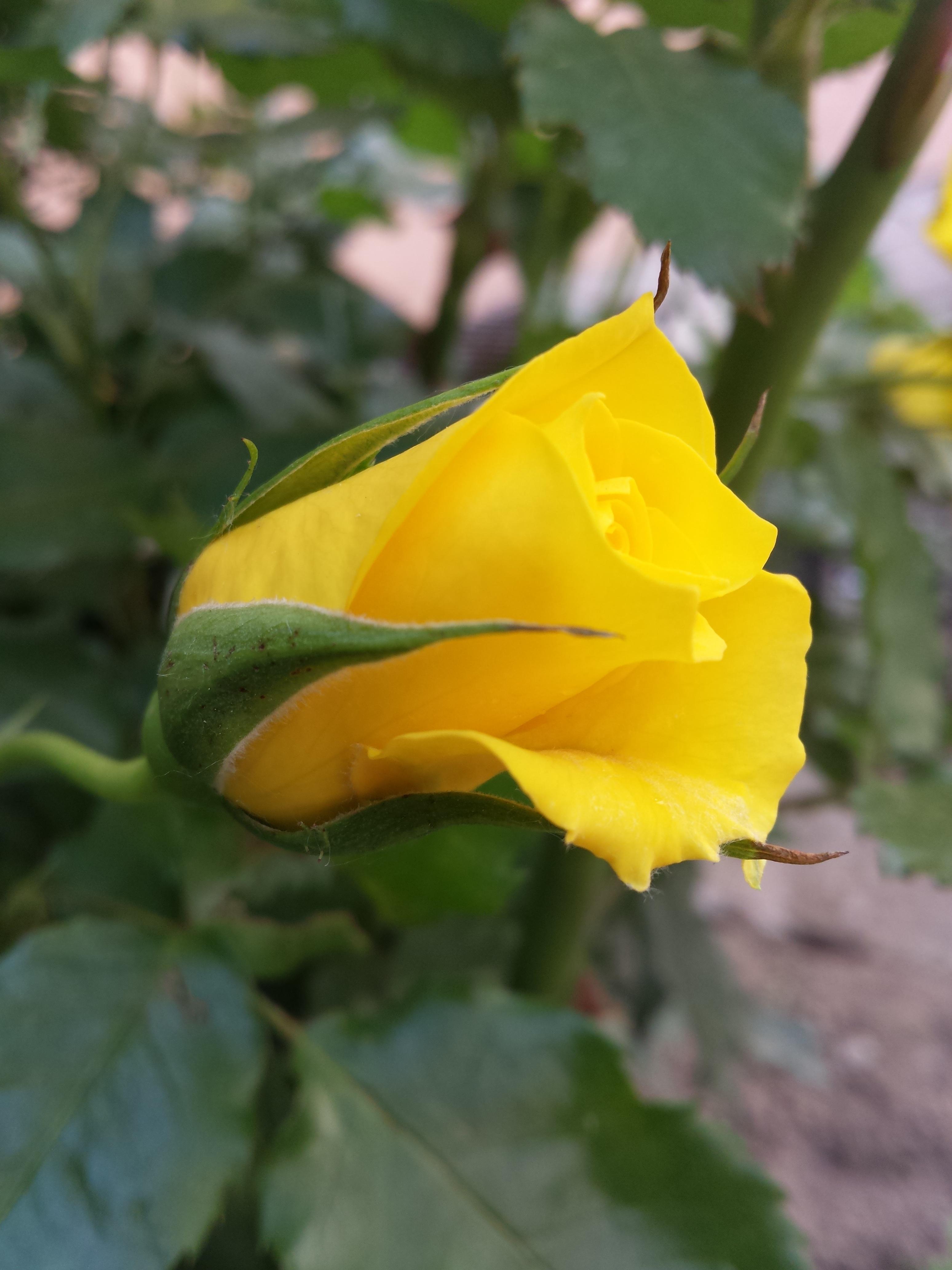 menanam daun bunga daun bunga mawar botani kuning Flora bunga liar fotografi makro tanaman berbunga keluarga
