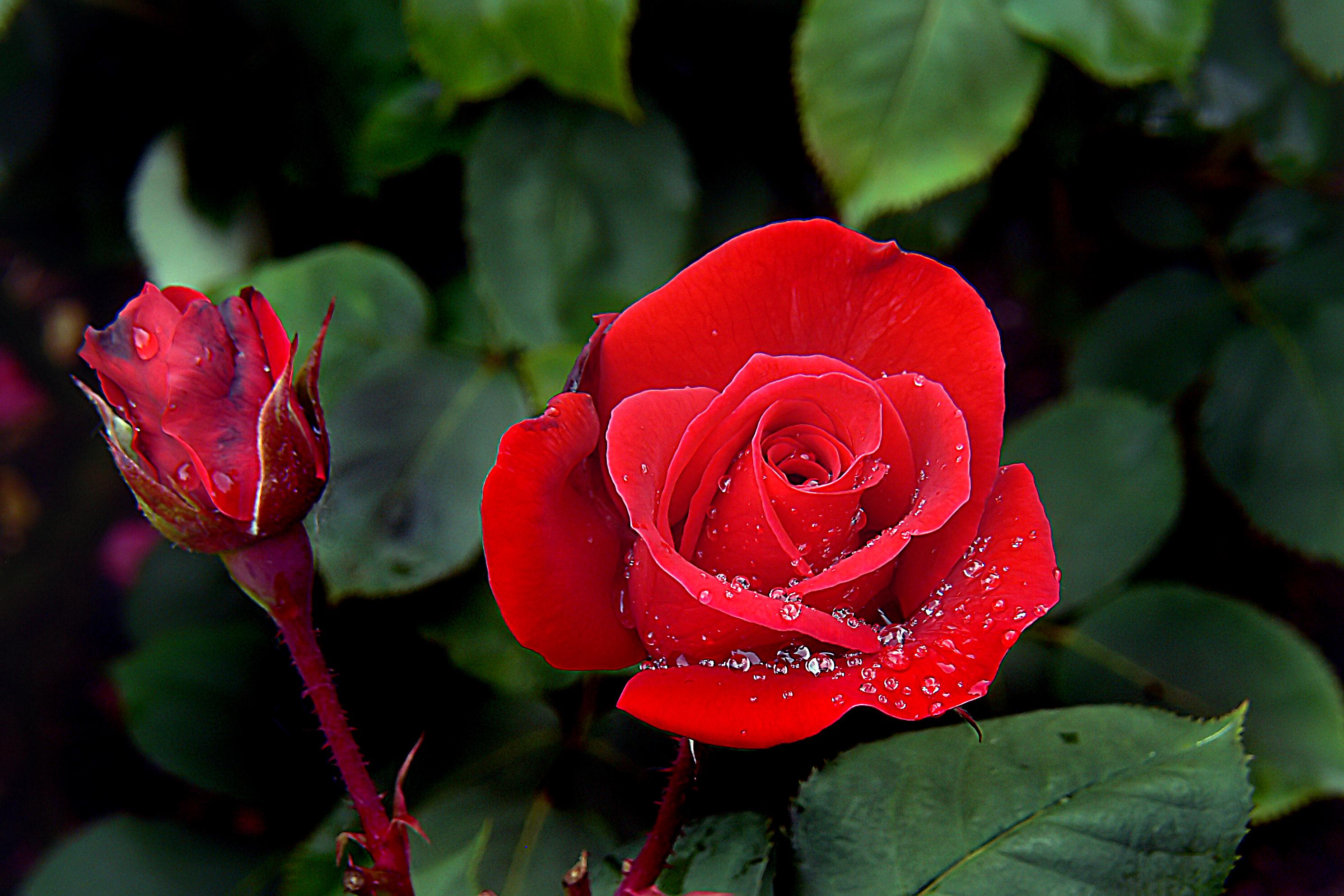 kostenlose foto blatt blume bl tenblatt rot botanik flora blumen rosen publicdomain. Black Bedroom Furniture Sets. Home Design Ideas