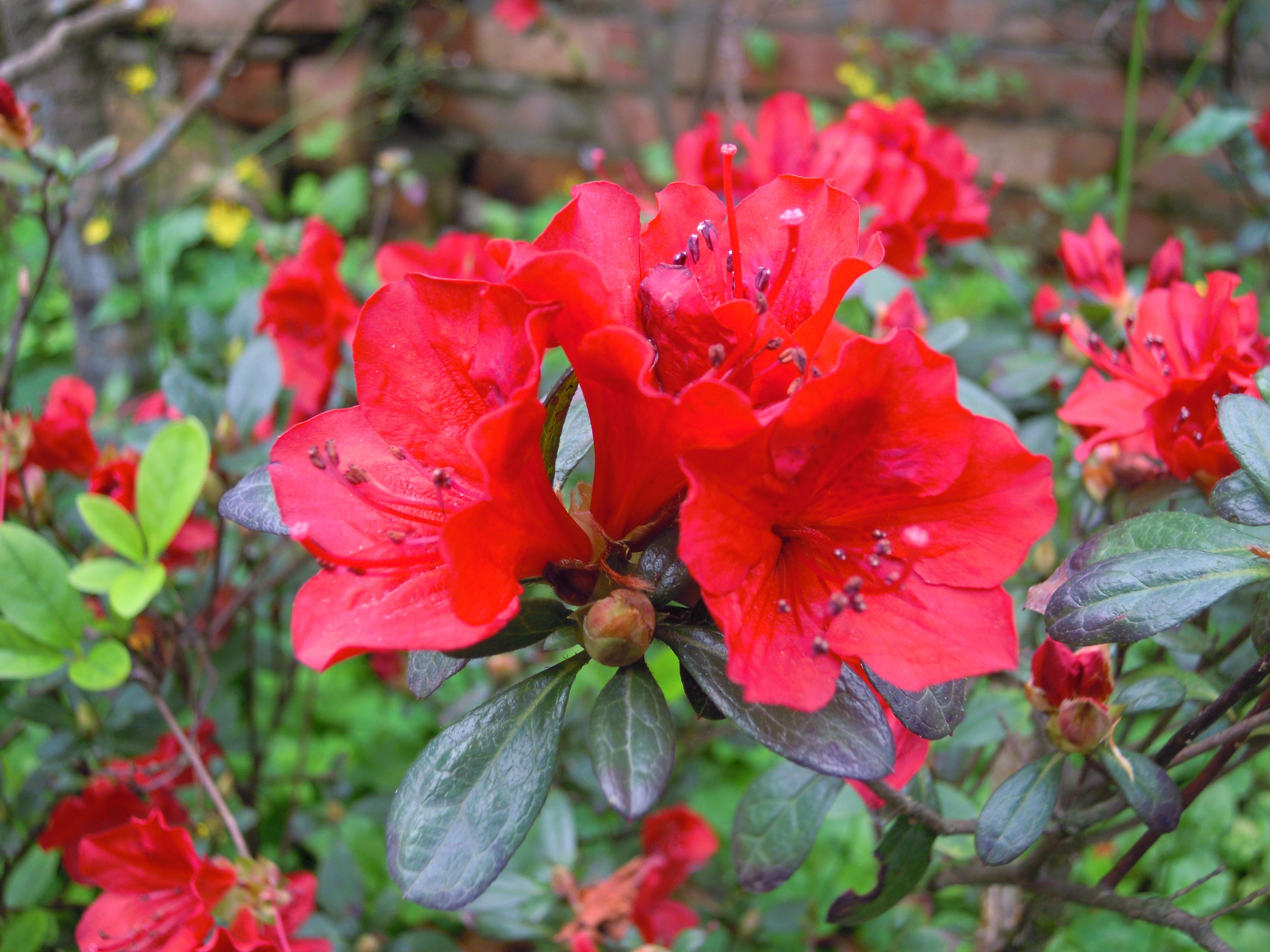 Images gratuites feuille fleur p tale printemps botanique flore arbuste rhododendron - Arbuste fleur rouge printemps ...