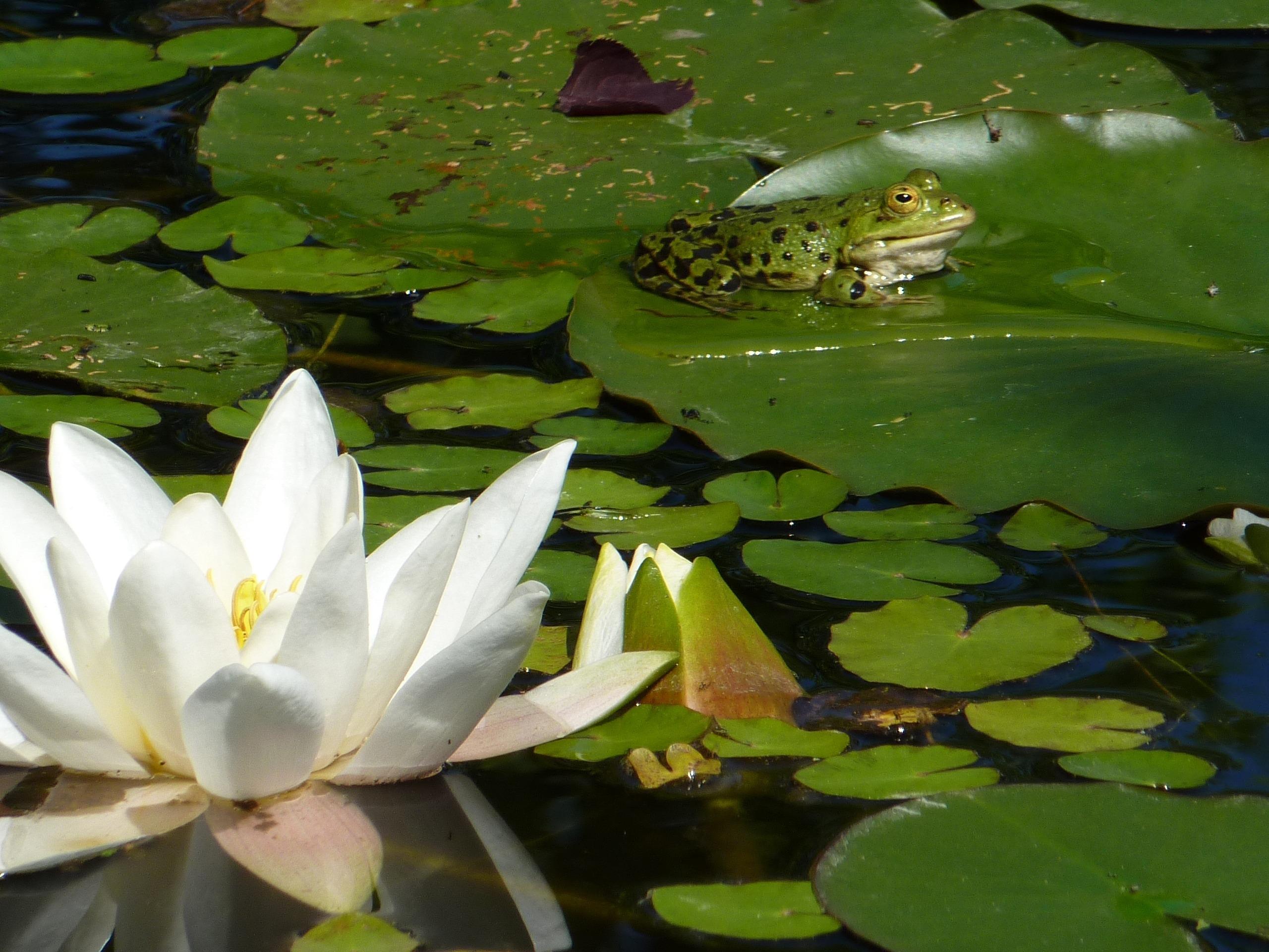 картинки с болотными лилиями данном посте