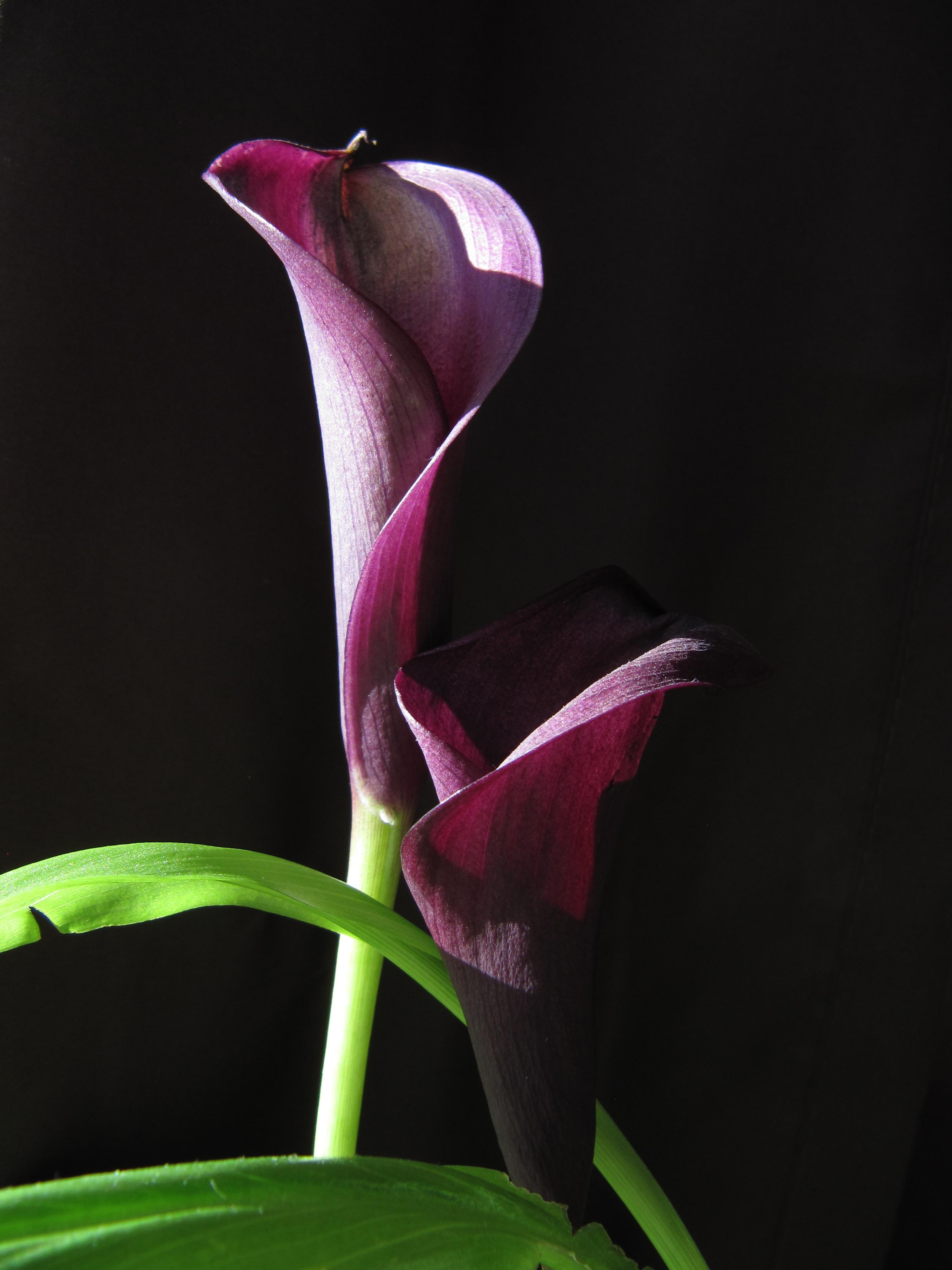 images gratuites : feuille, fleur, violet, pétale, botanique, rose