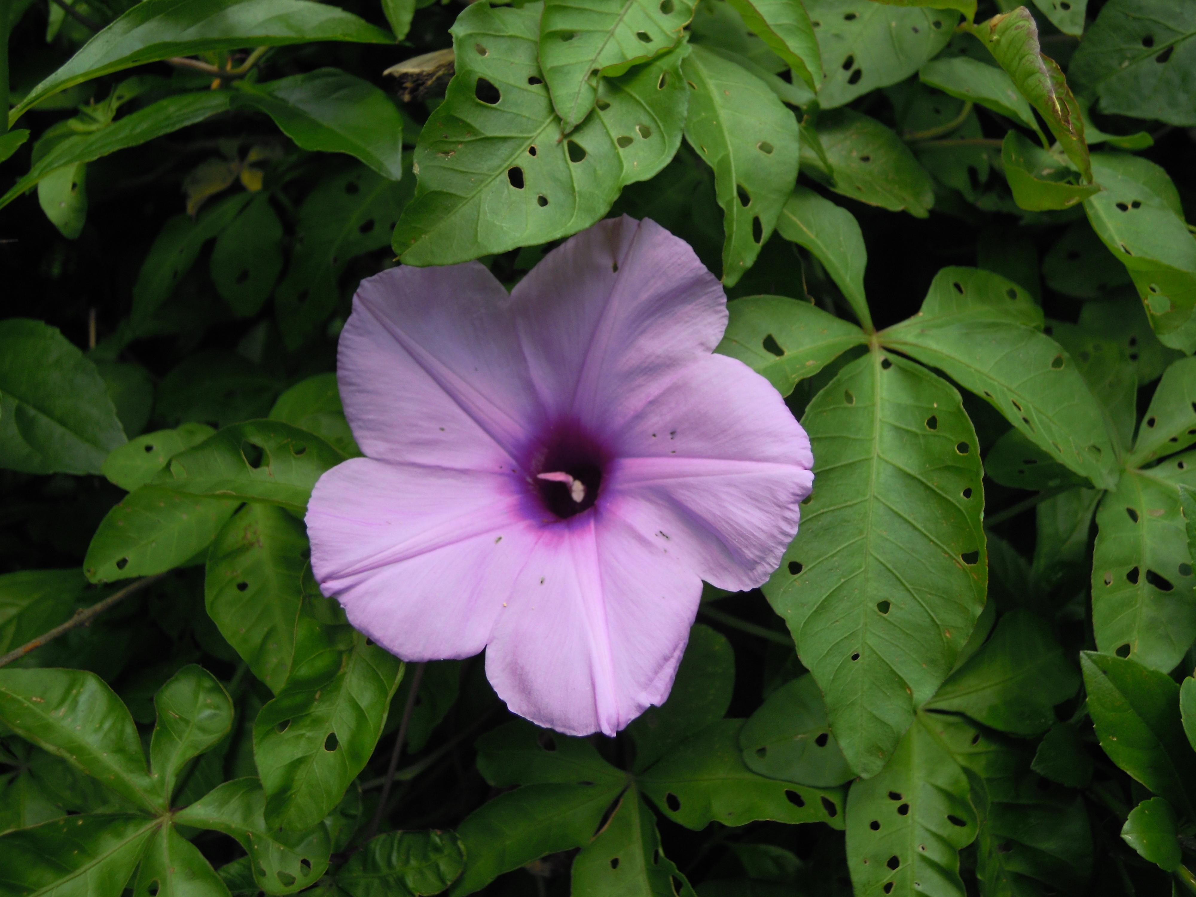 Plant Leaf Flower Purple Petal Green Botany Garden Flora Wildflower Taipei Morning Glory Ipomoea Moonflower Macro