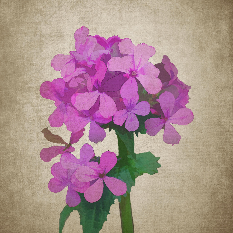 Free images leaf flower purple petal flora hydrangea drawing plant leaf flower purple petal pink flora hydrangea flowers drawing illustration magenta phlox pink flowers flowering mightylinksfo