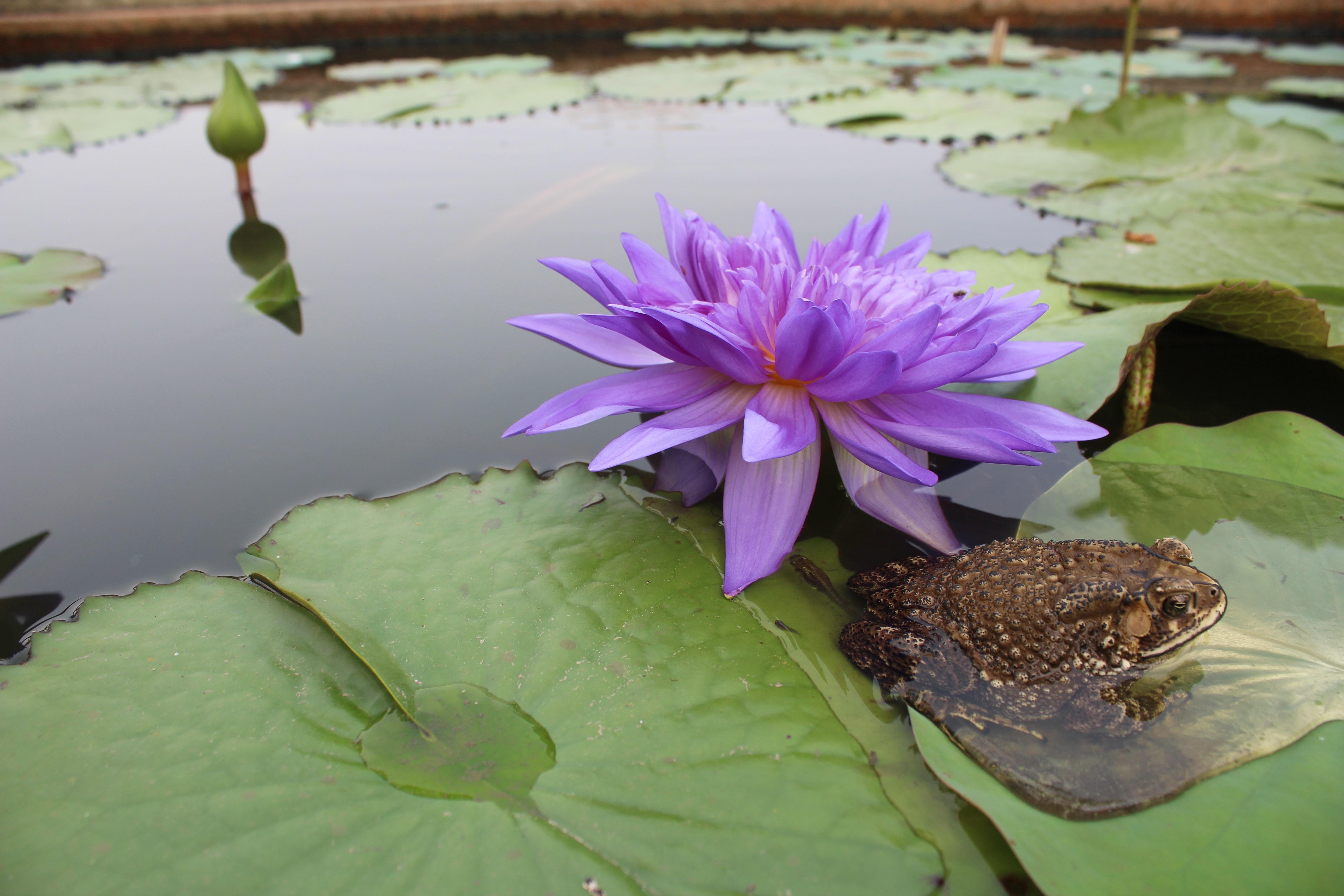 жаба на лотосе фото пошиве медведей-репликантов