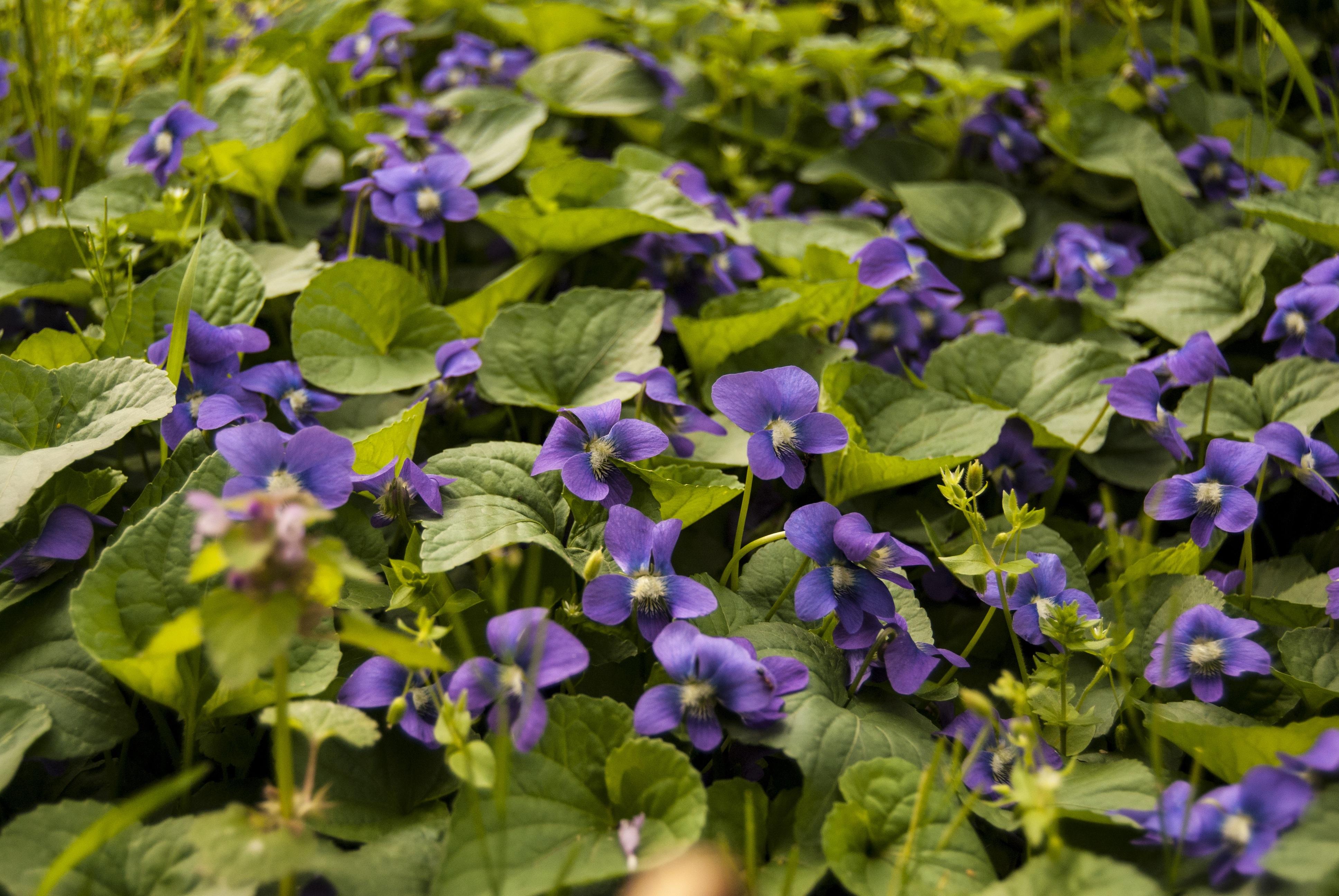 Images gratuites feuille fleur violet p tale printemps vert herbe frais botanique - Image fleur violette gratuite ...