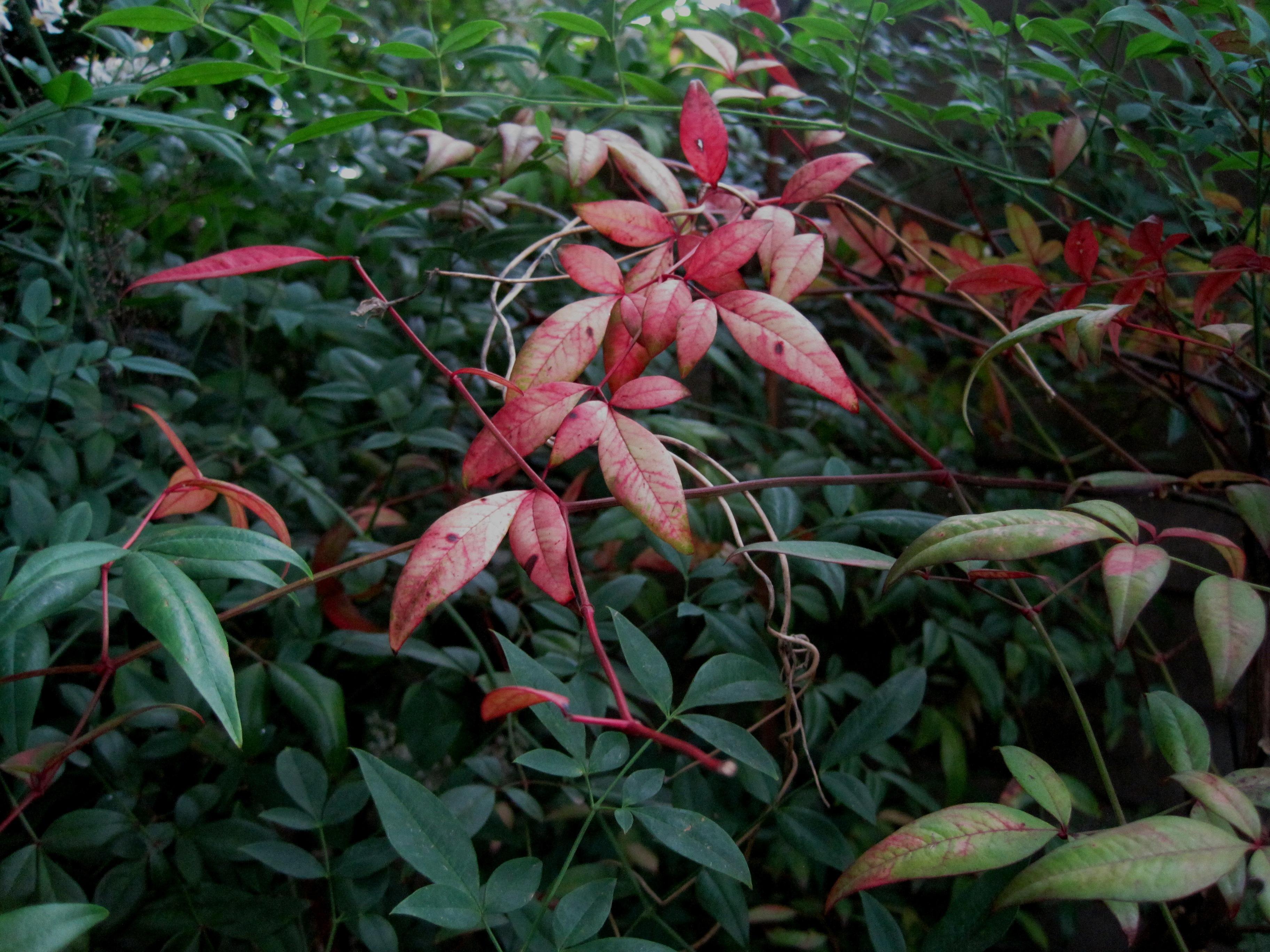 Kostenlose Foto Blatt Blume Rot Botanik Garten Flora Blatter