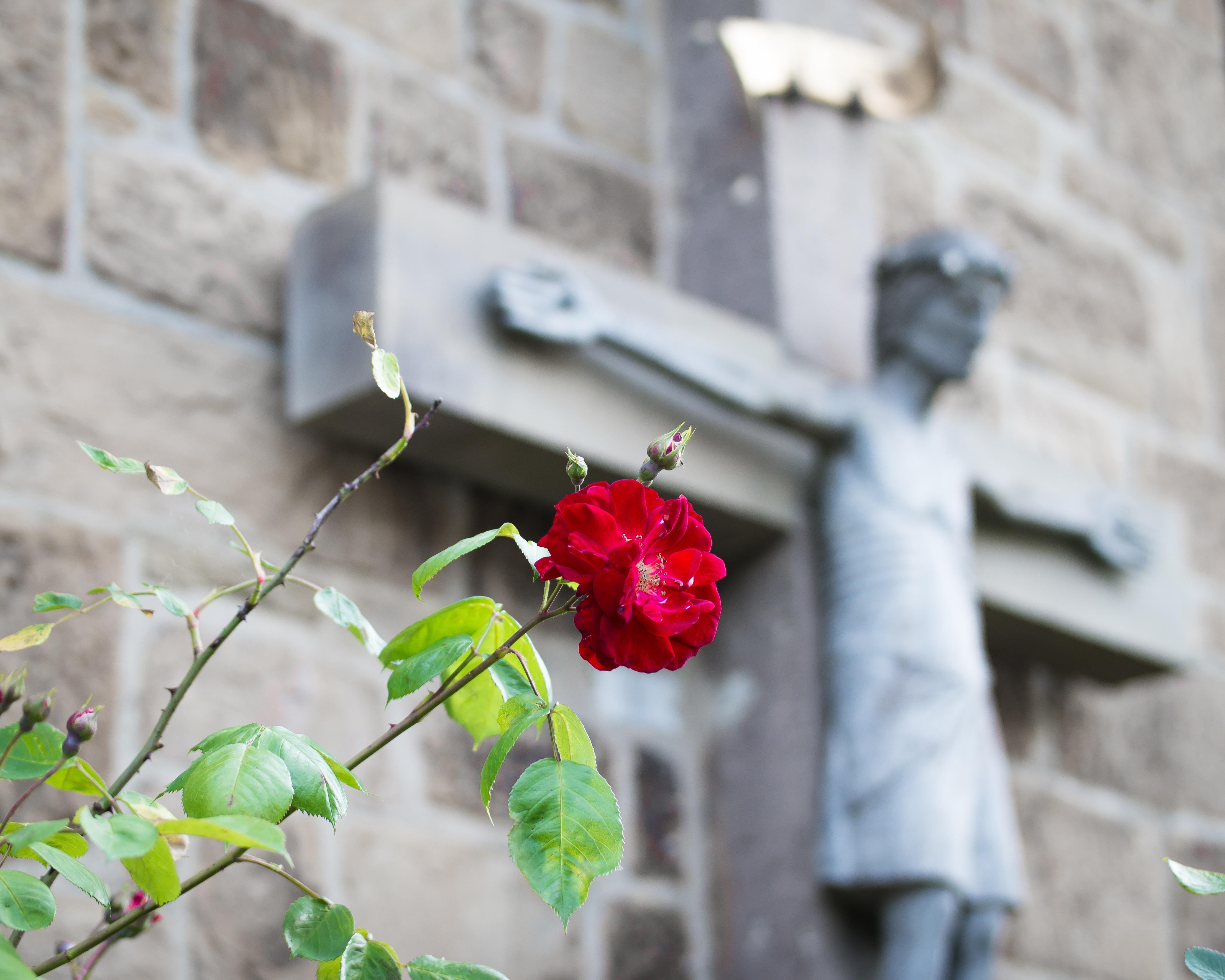 Fotos gratis : planta, hoja, flor, Rosa, primavera, verde, rojo ...