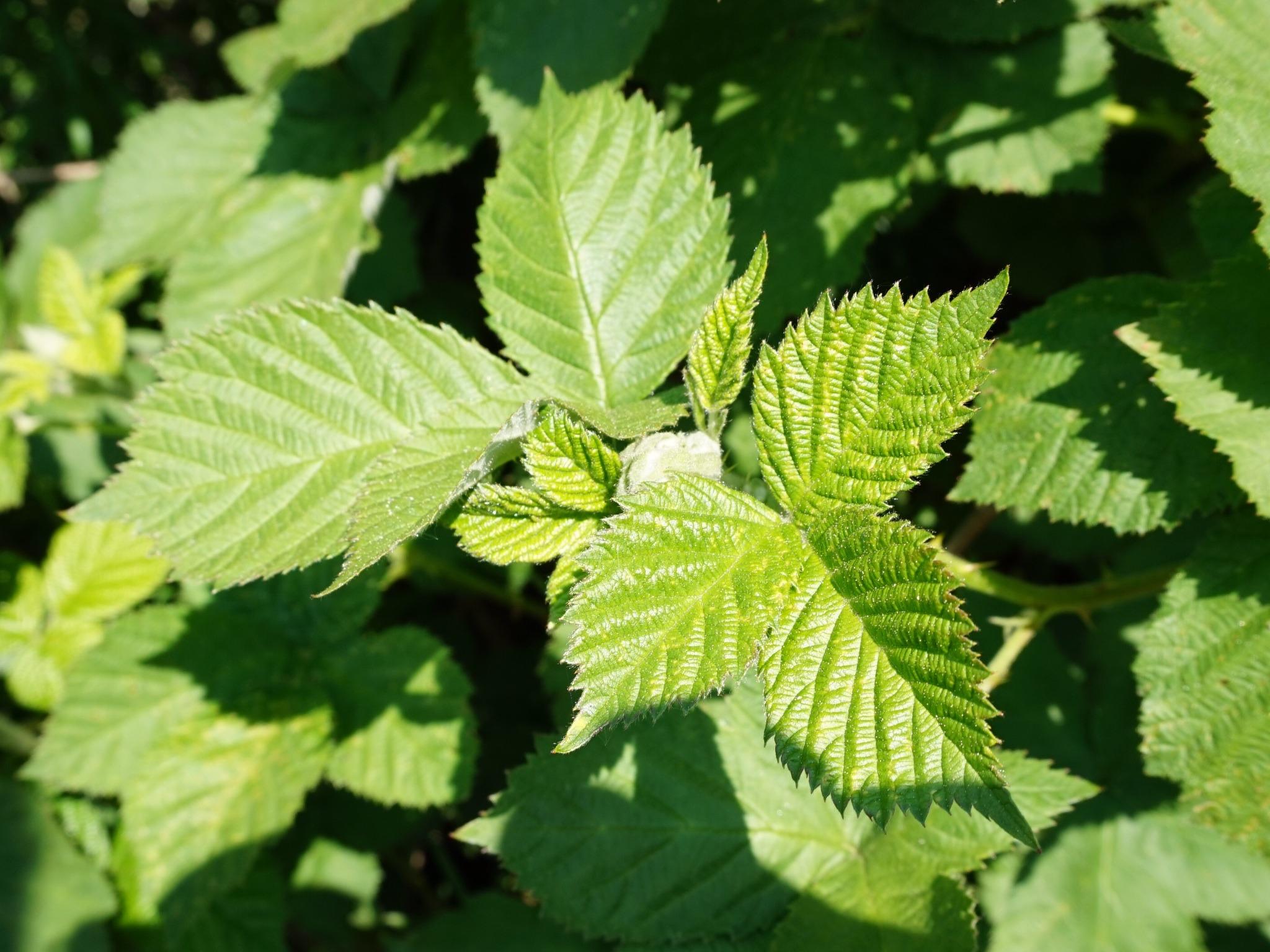images gratuites feuille fleur printemps vert herbe produire feuilles arbuste m res. Black Bedroom Furniture Sets. Home Design Ideas