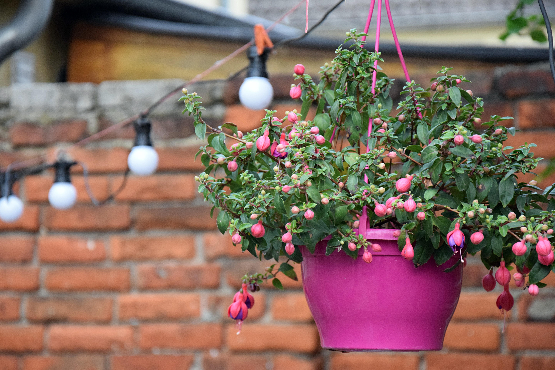 Planter Un Lilas En Pot images gratuites : feuille, mur, printemps, vert, rouge
