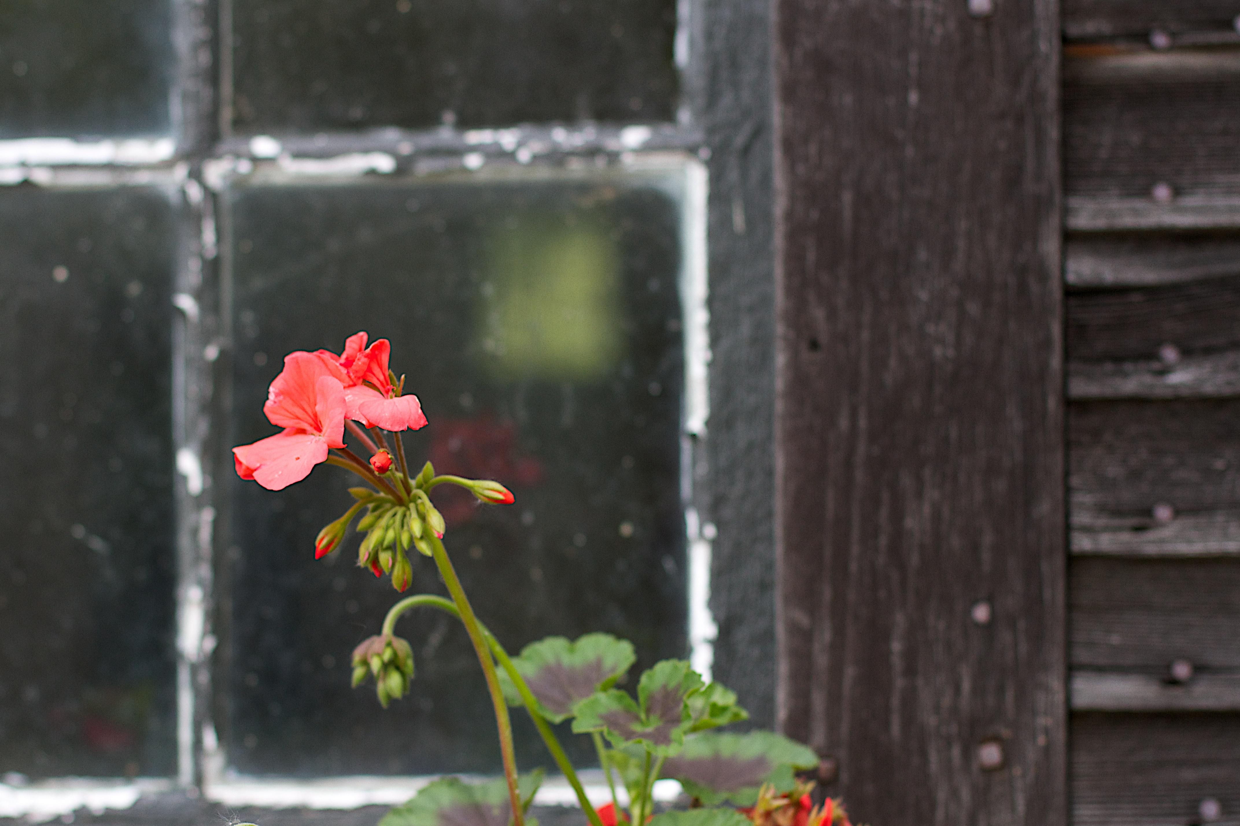 Fotos gratis : planta, hoja, flor, ventana, pared, verde, rojo ...