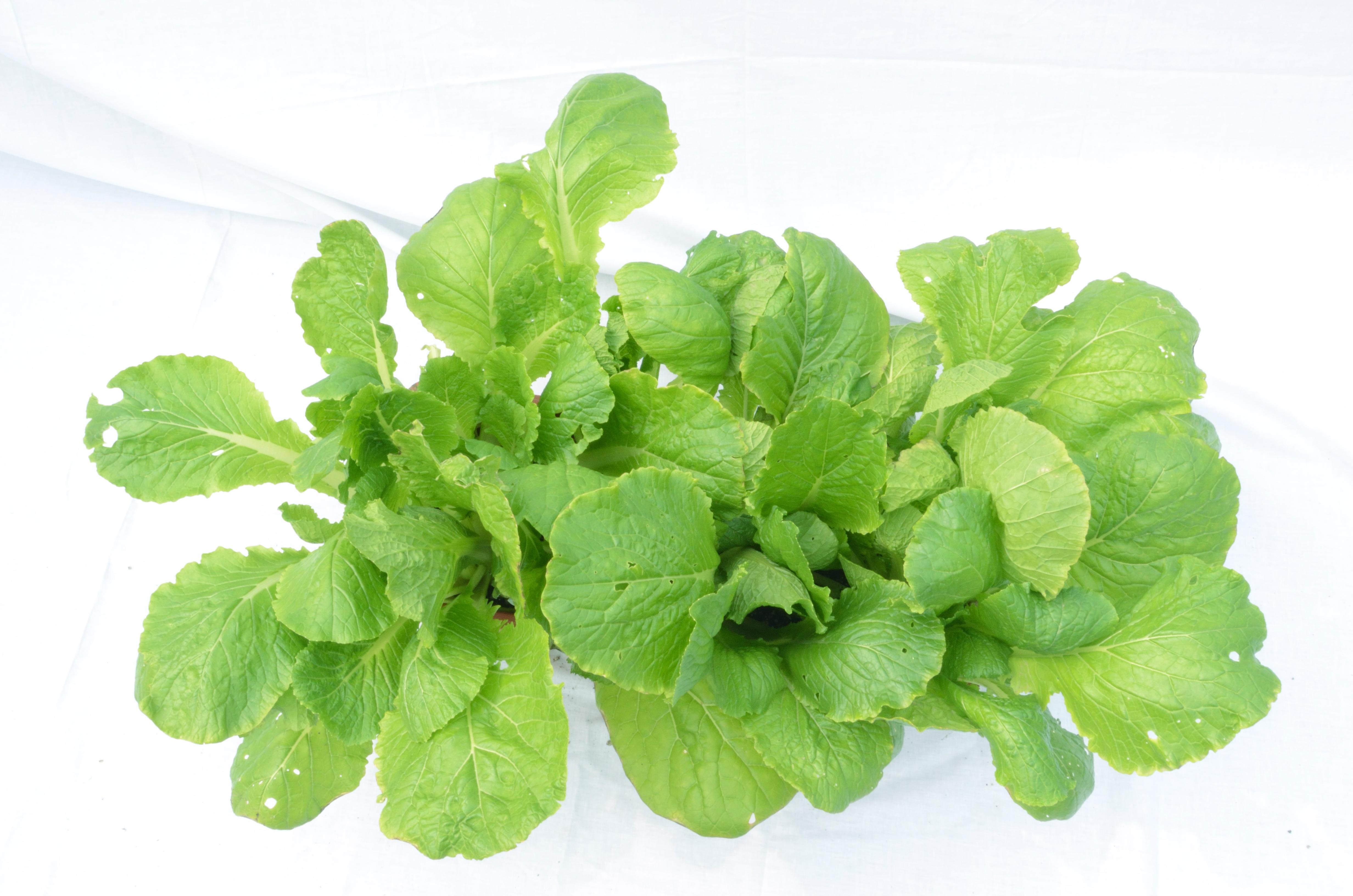 images gratuites feuille aliments vert herbe produire l gume coriandre plante fleurs. Black Bedroom Furniture Sets. Home Design Ideas