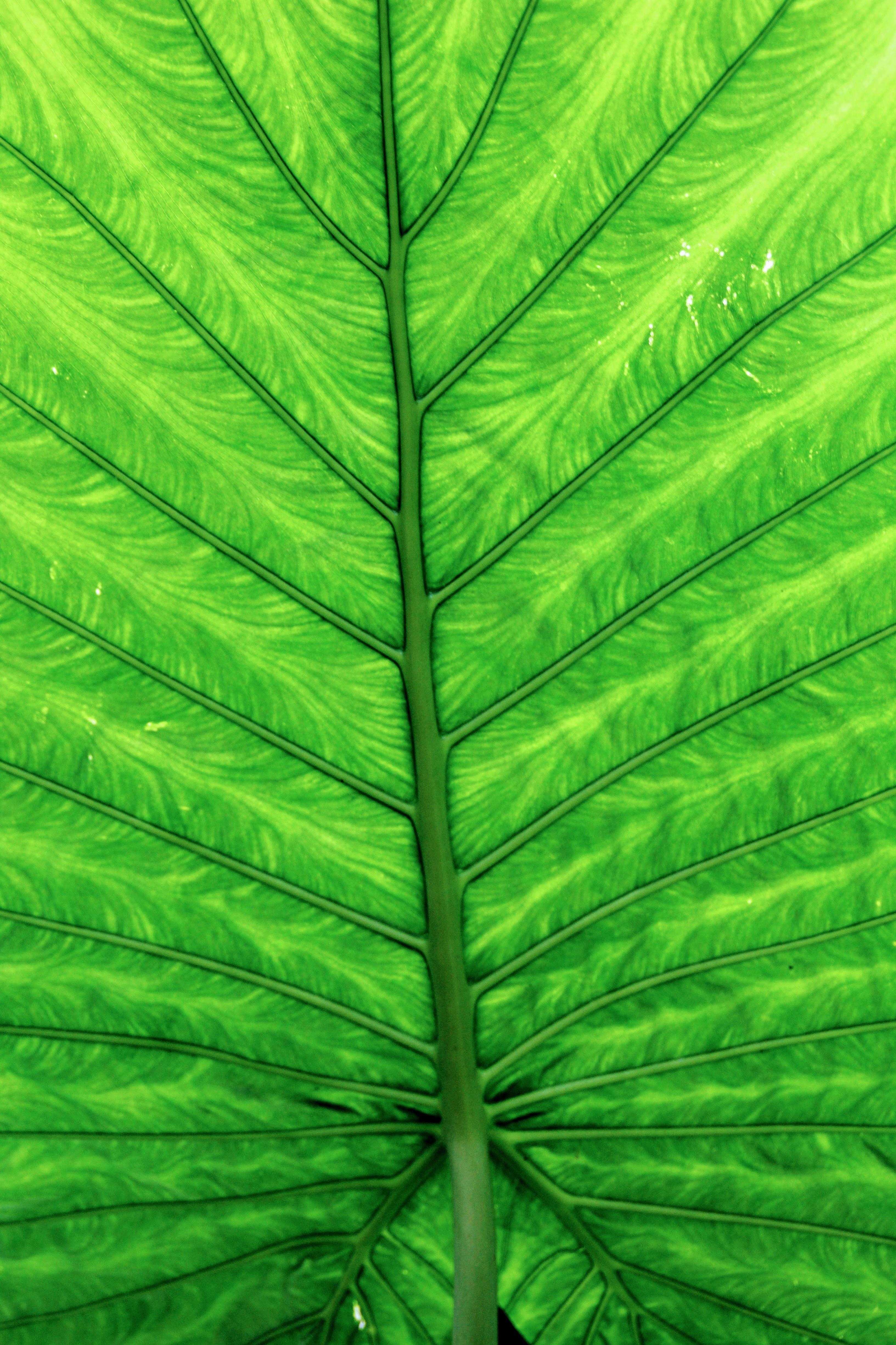 Free Images : chlorophyll, leaves, vegetation, large ...