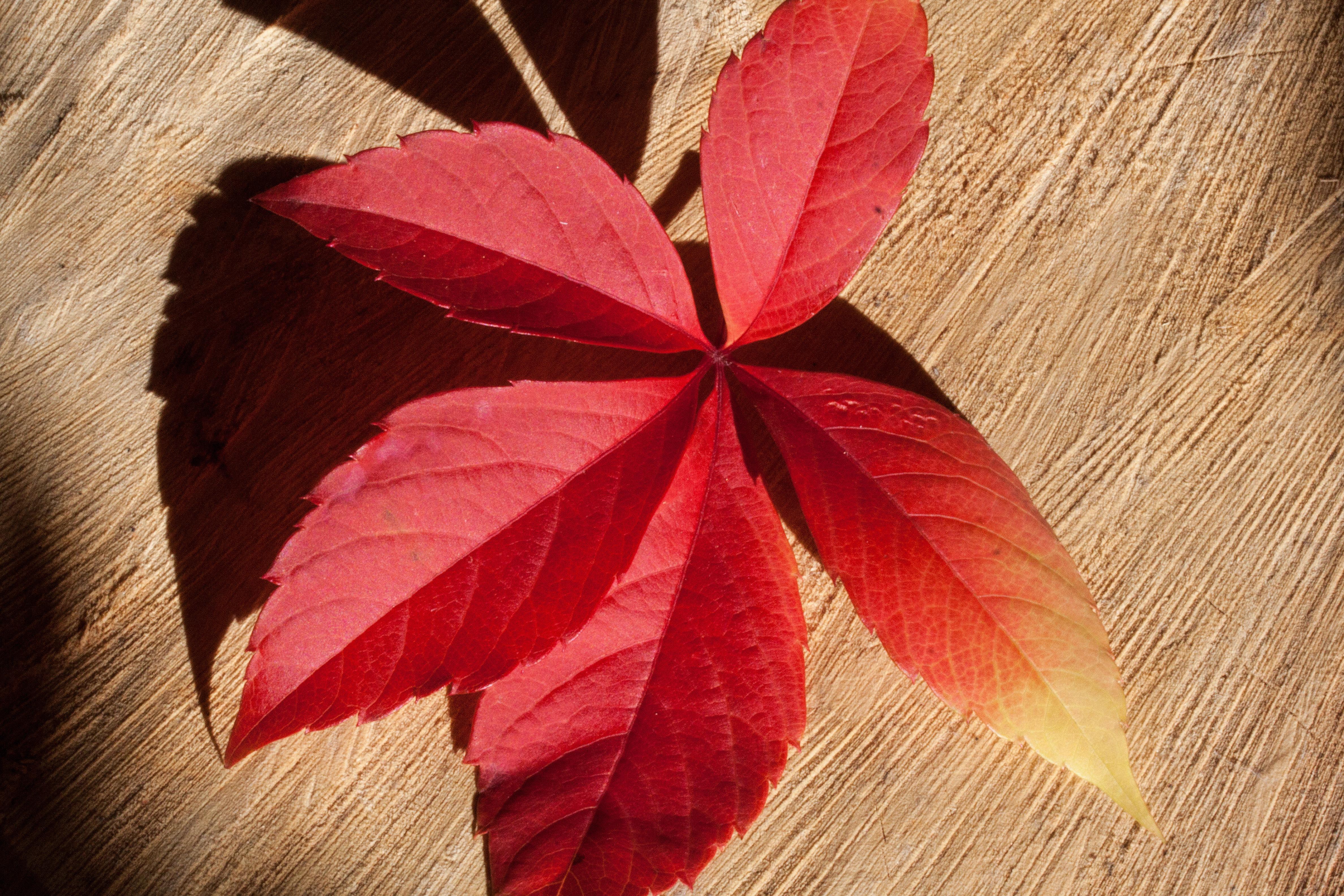 Images gratuites plante p tale rouge color jaune for Plante feuille rouge