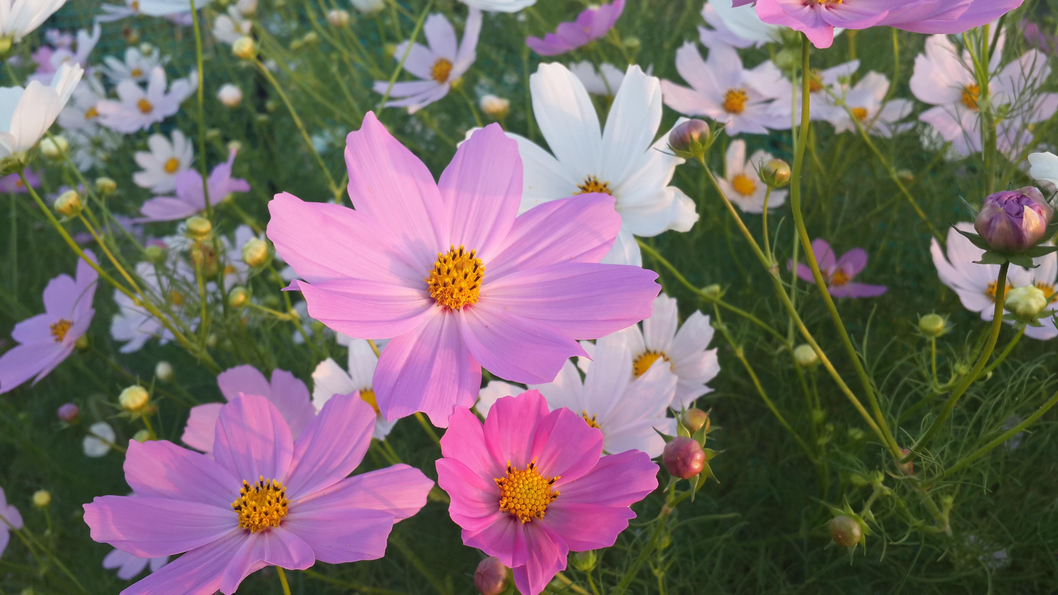 картинки цветы садовые полевые на телефон обои звезда удивляется тому
