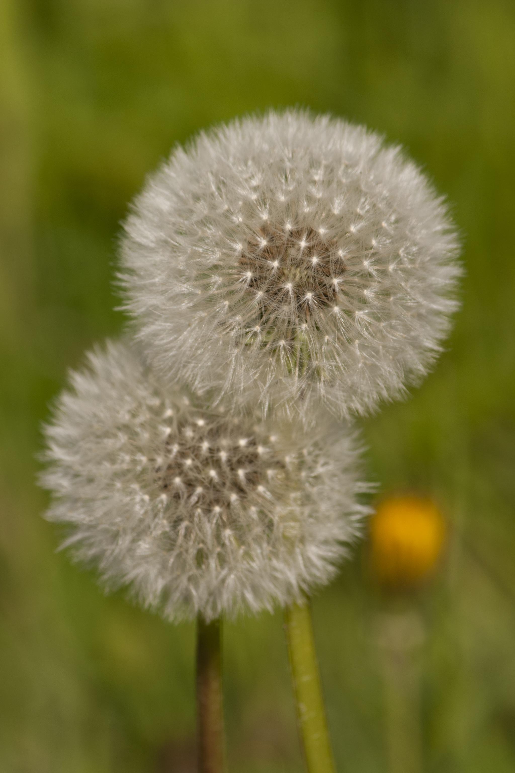 Ce faci cu florile și frunzele de păpădie după ce le recoltezi? Reguli de depozitare
