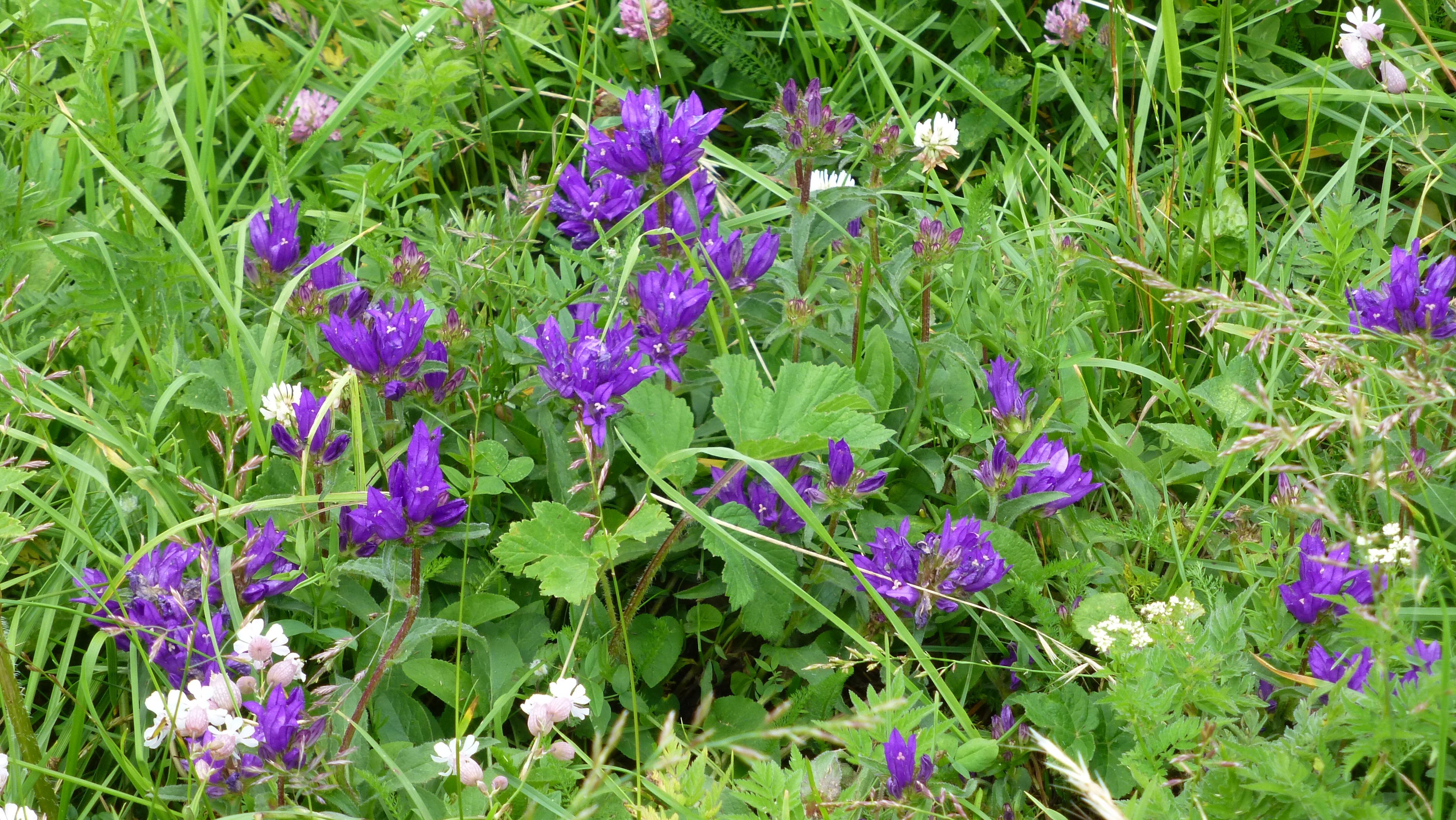 Immagini belle prato fiore erba giardino flora for Pianta fiori viola