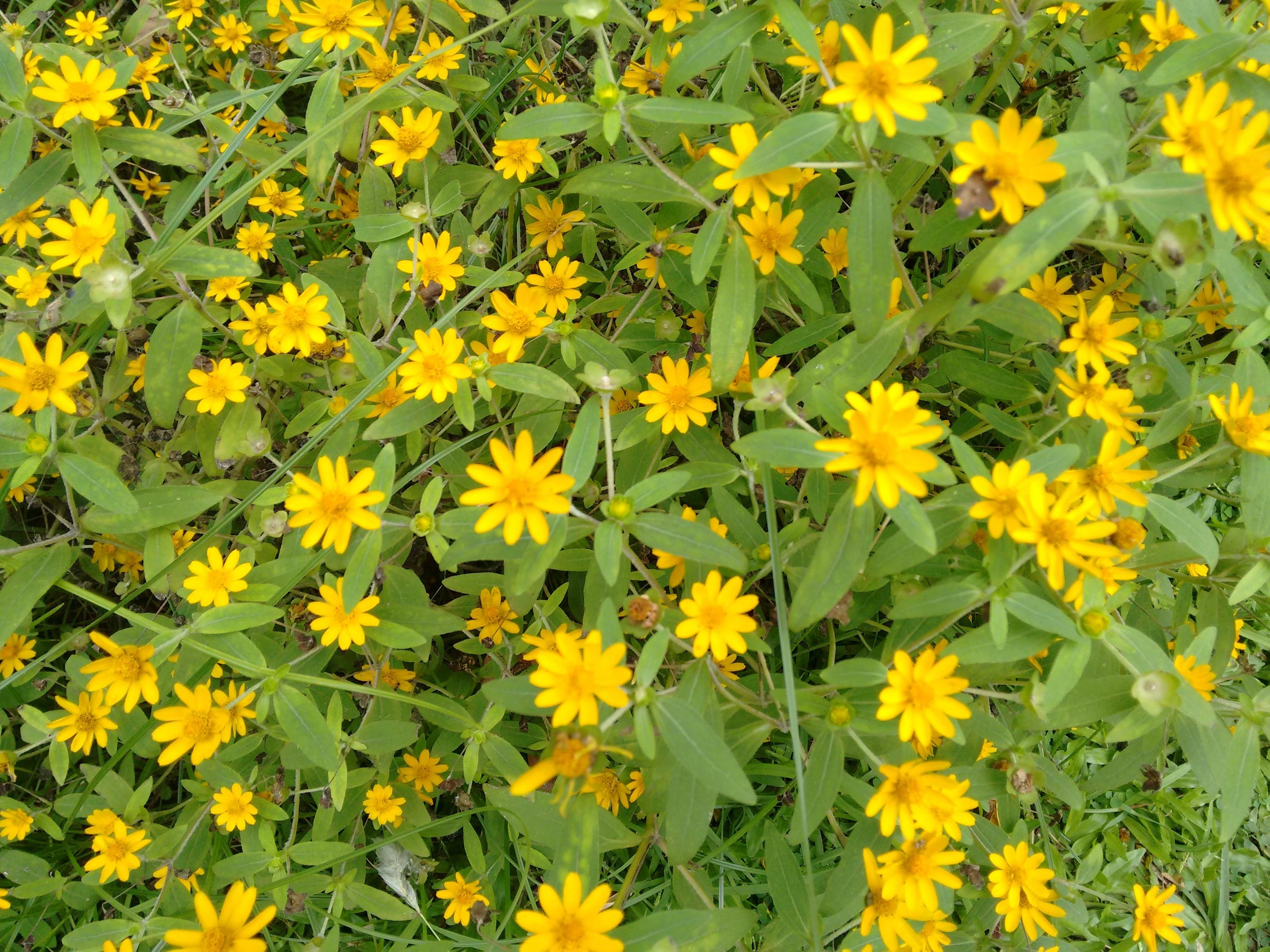 Fiori Di Campo Gialli.Immagini Belle Prato Fiore Erba Giallo Flora Fiore Di Campo