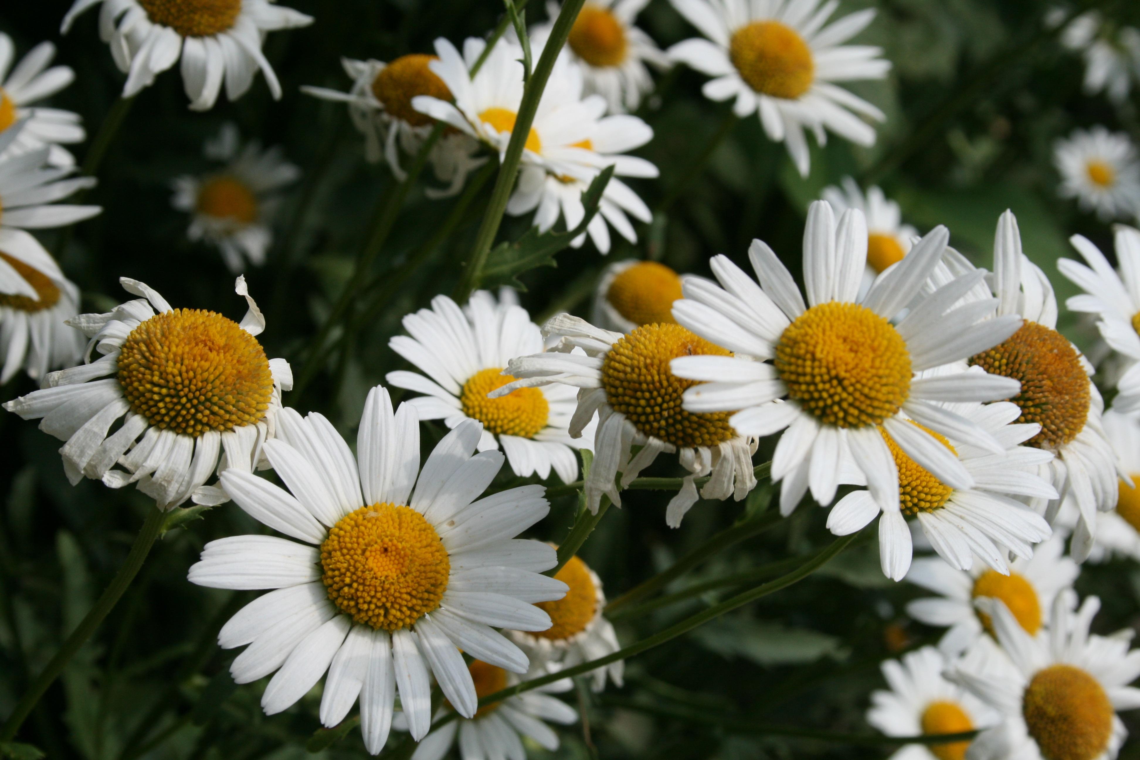 природа искать картинки цветы ромашка главной
