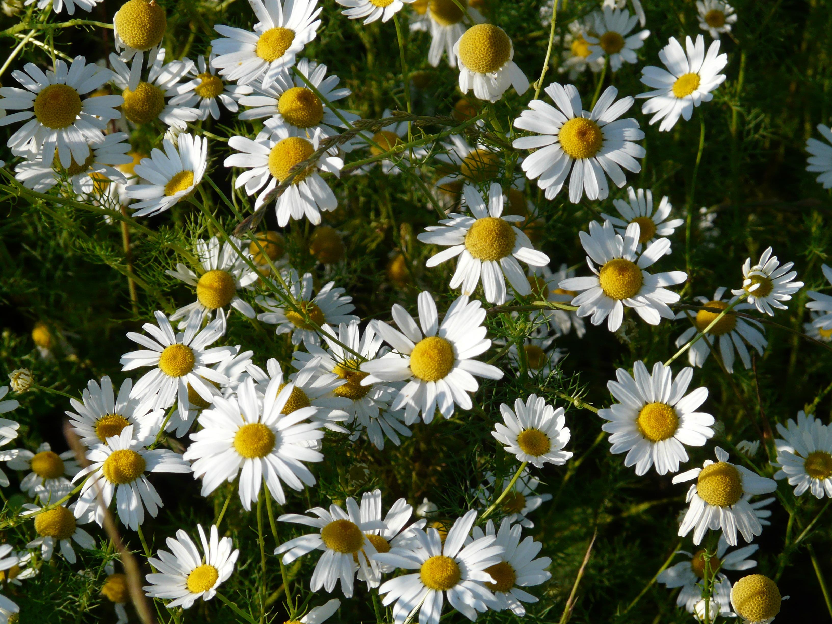 Gambar Menanam Padang Rumput Daun Bunga Bunga Aster Herba Botani Flora Bunga Liar Bunga Bunga Asteraceae Kamomil Komposit Hal Berkembang Tanaman Berbunga Keluarga Daisy Keranjang Bunga Chamomile Asli Mata Lembu Daisy Bidang