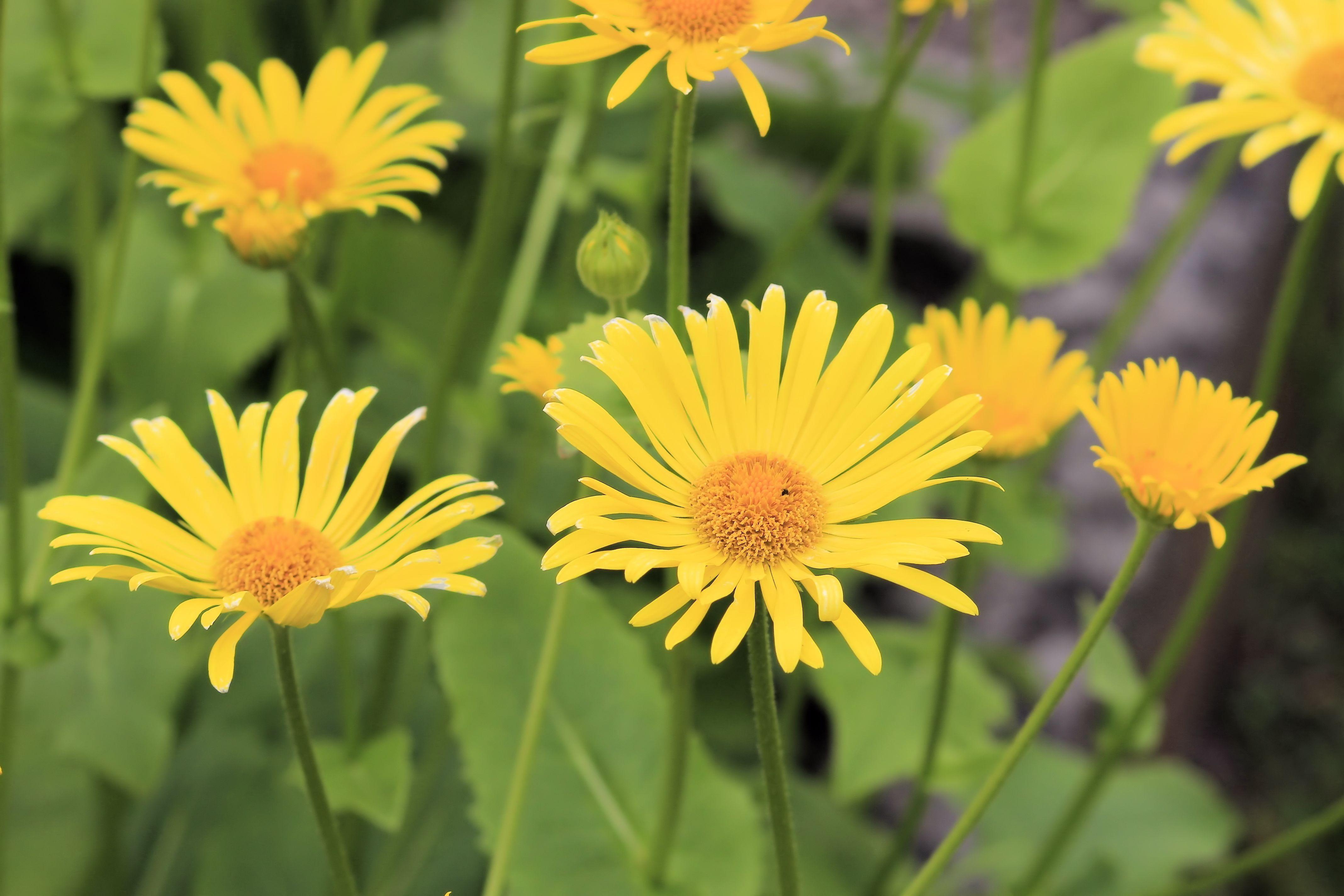 Images gratuites plante prairie fleur p tale - Image fleur marguerite ...