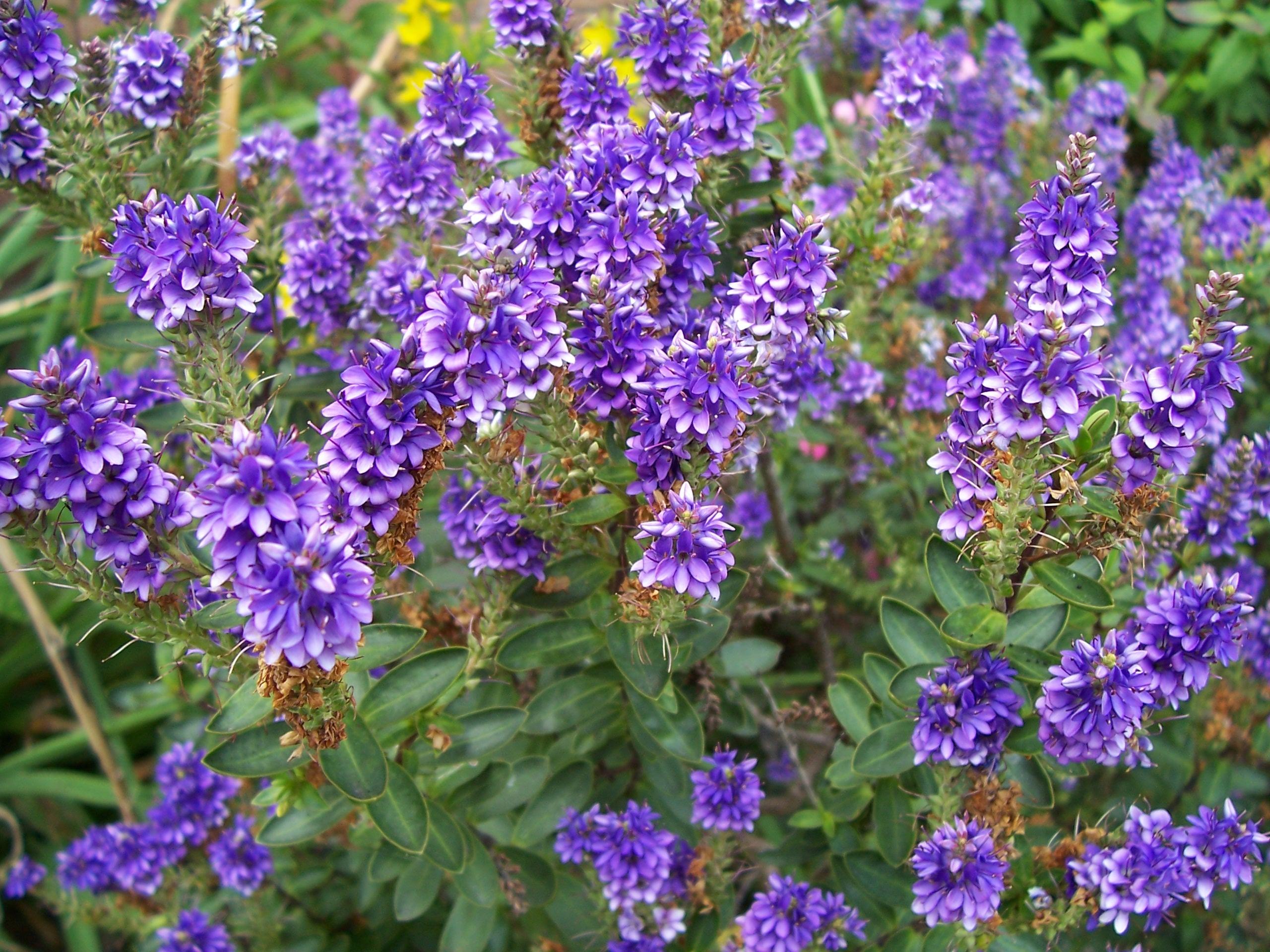 Free Images Meadow Flower Bush Herb Flora Perennial