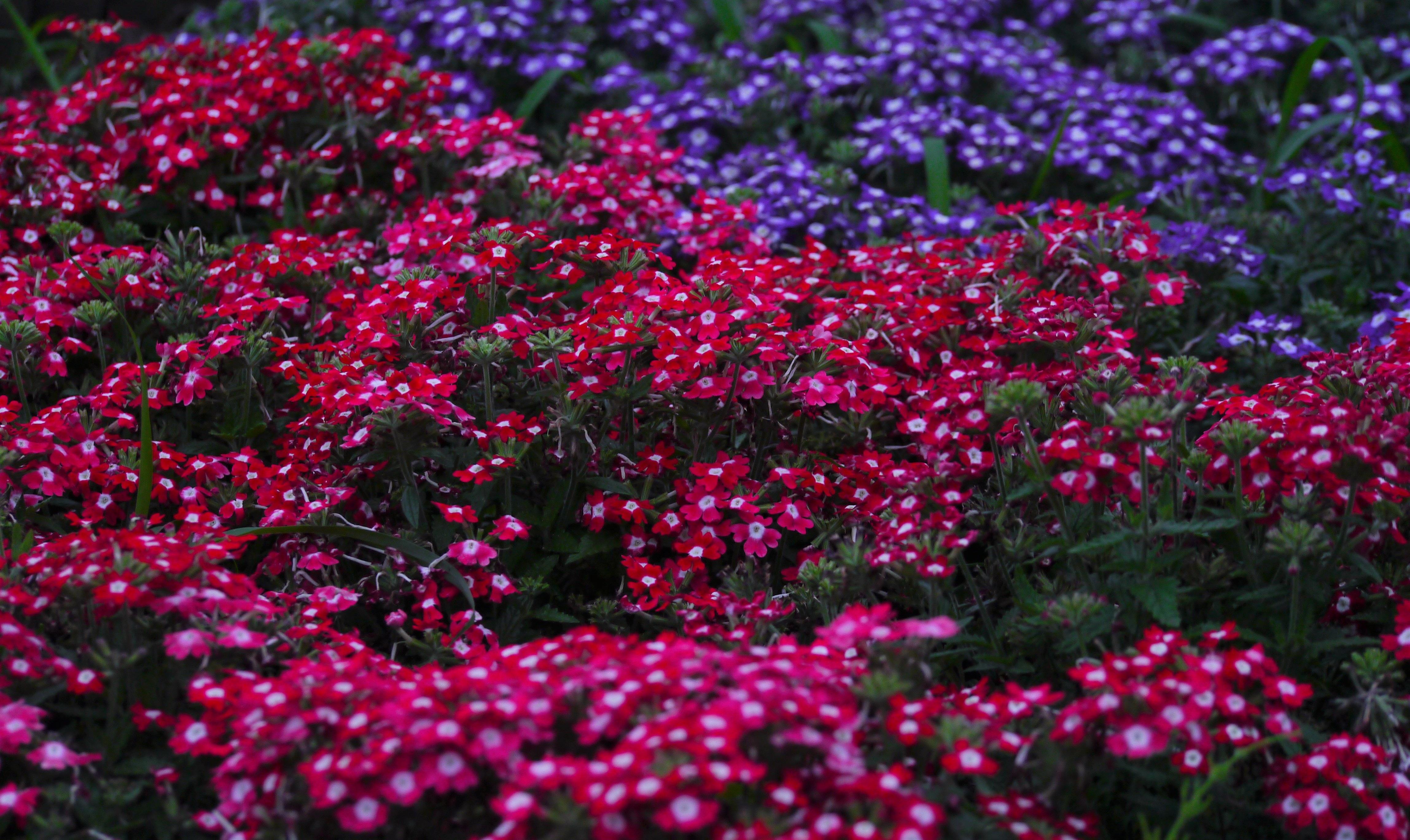 Images Gratuites : Prairie, fleur, violet, pétale, Japon, flore ...