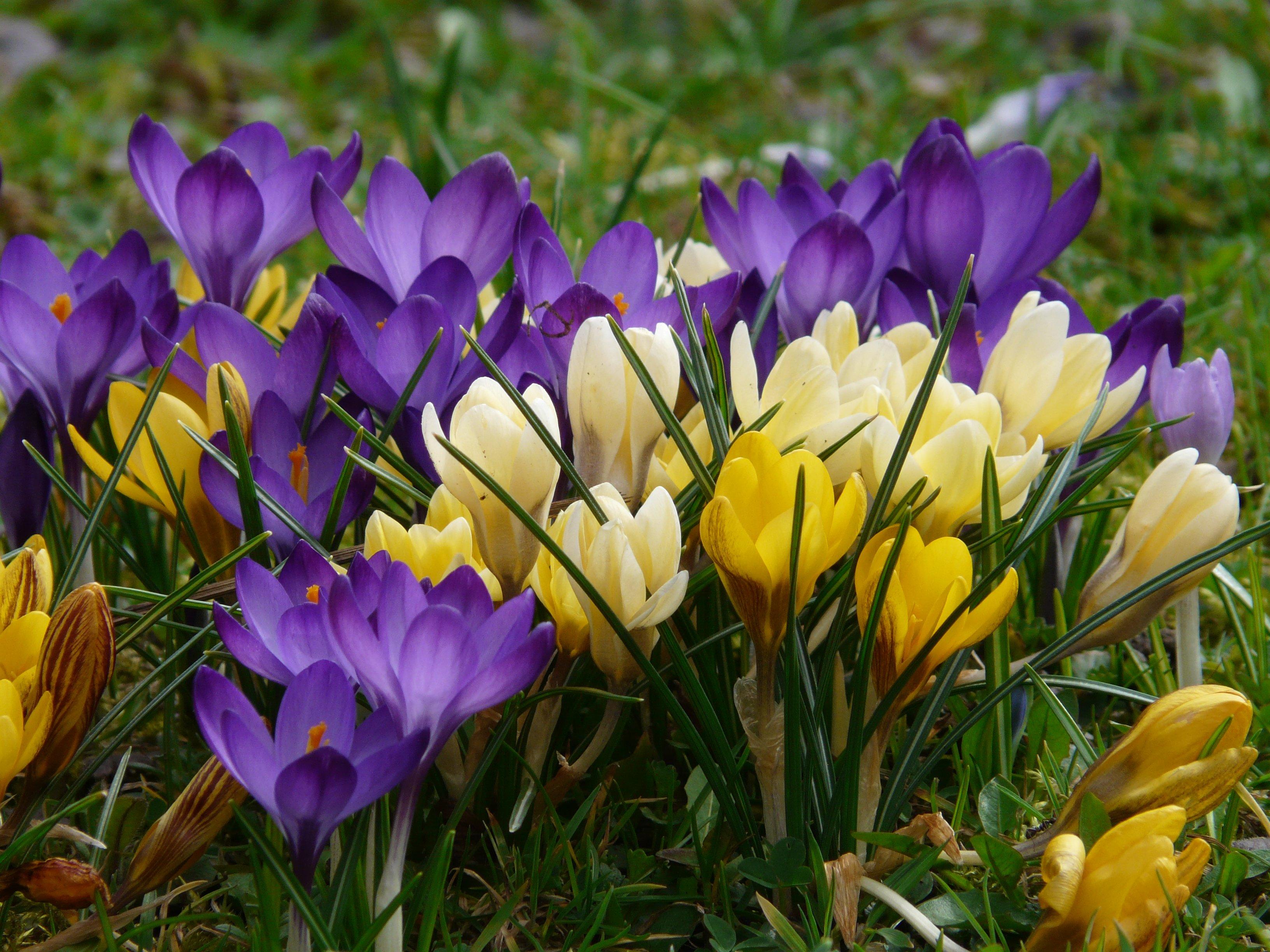 Фото и описание весенних цветов