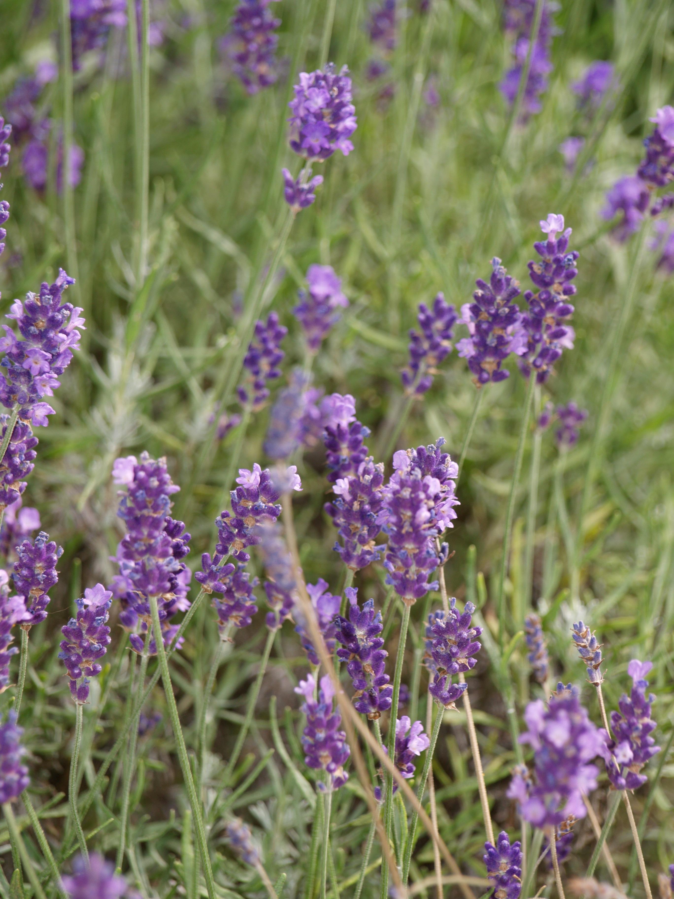 kostenlose foto wiese blume lila sommer kraut flora lavendel wildblume bl hende. Black Bedroom Furniture Sets. Home Design Ideas