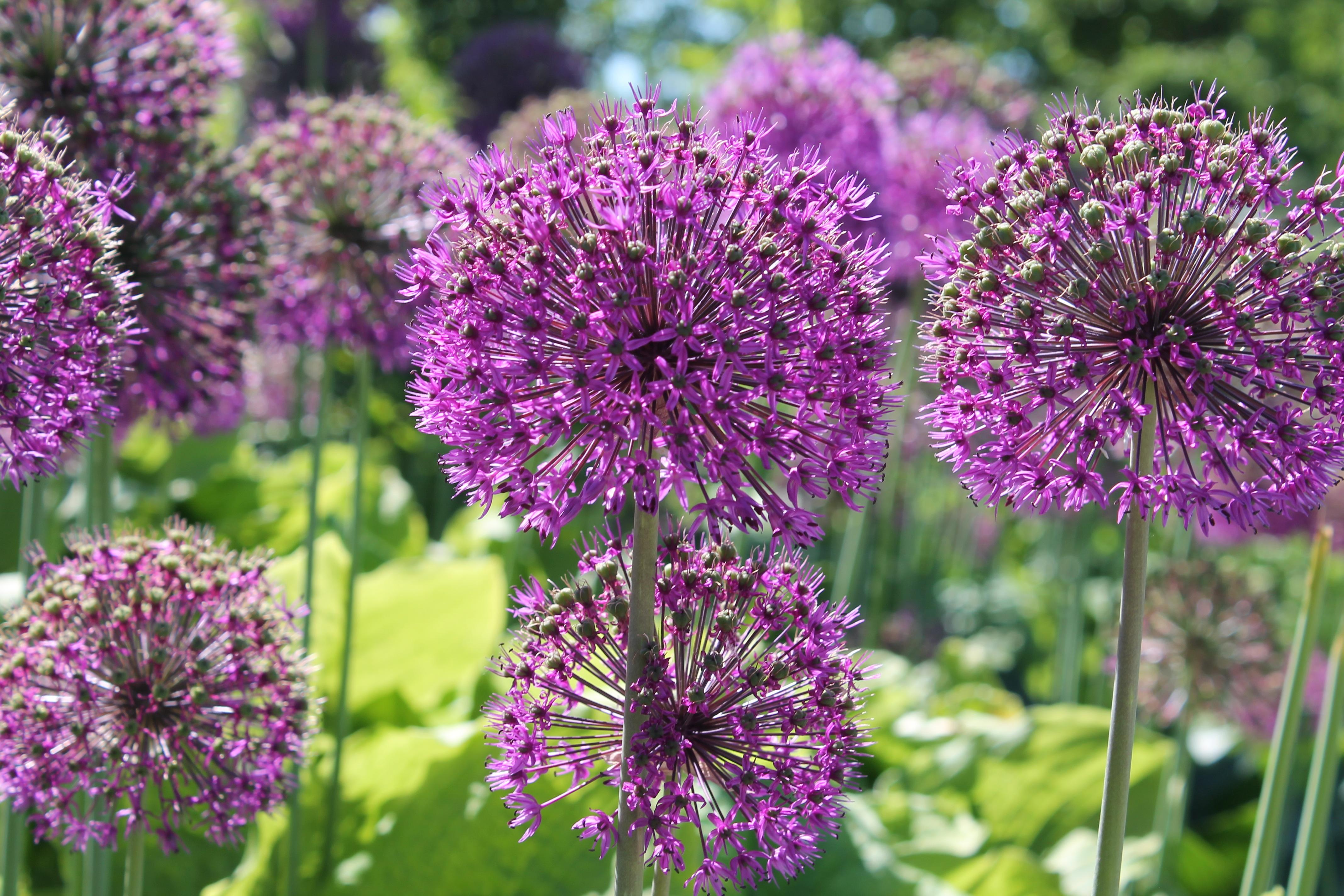 Free Images Meadow Purple Summer Herb Produce Vegetable