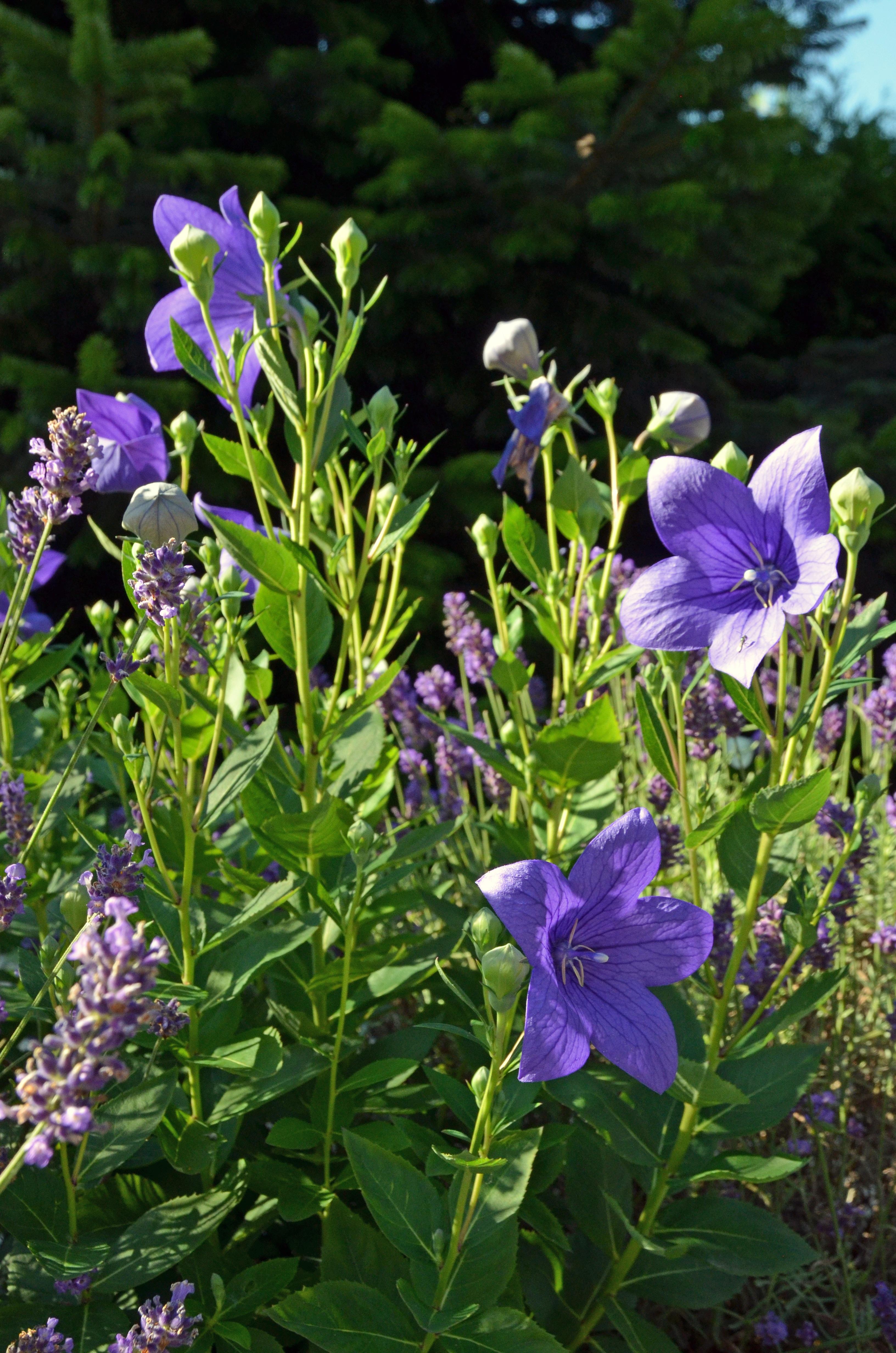 Китайский колокольчик цветок