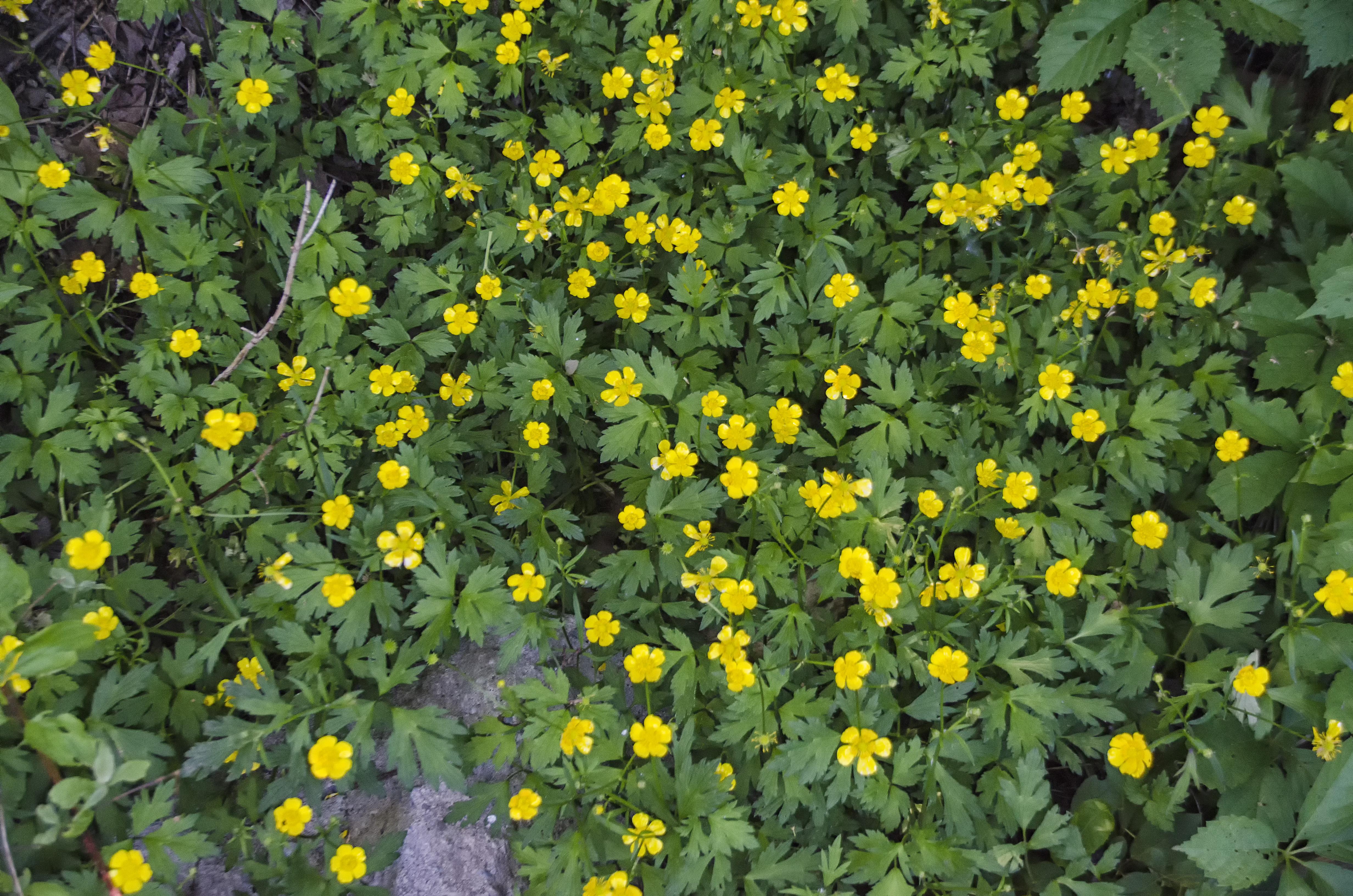 plante Prairie fleur jaune flore Fleur sauvage Canada Fleur Québec  Sherbrooke plante à fleurs Plante annuelle