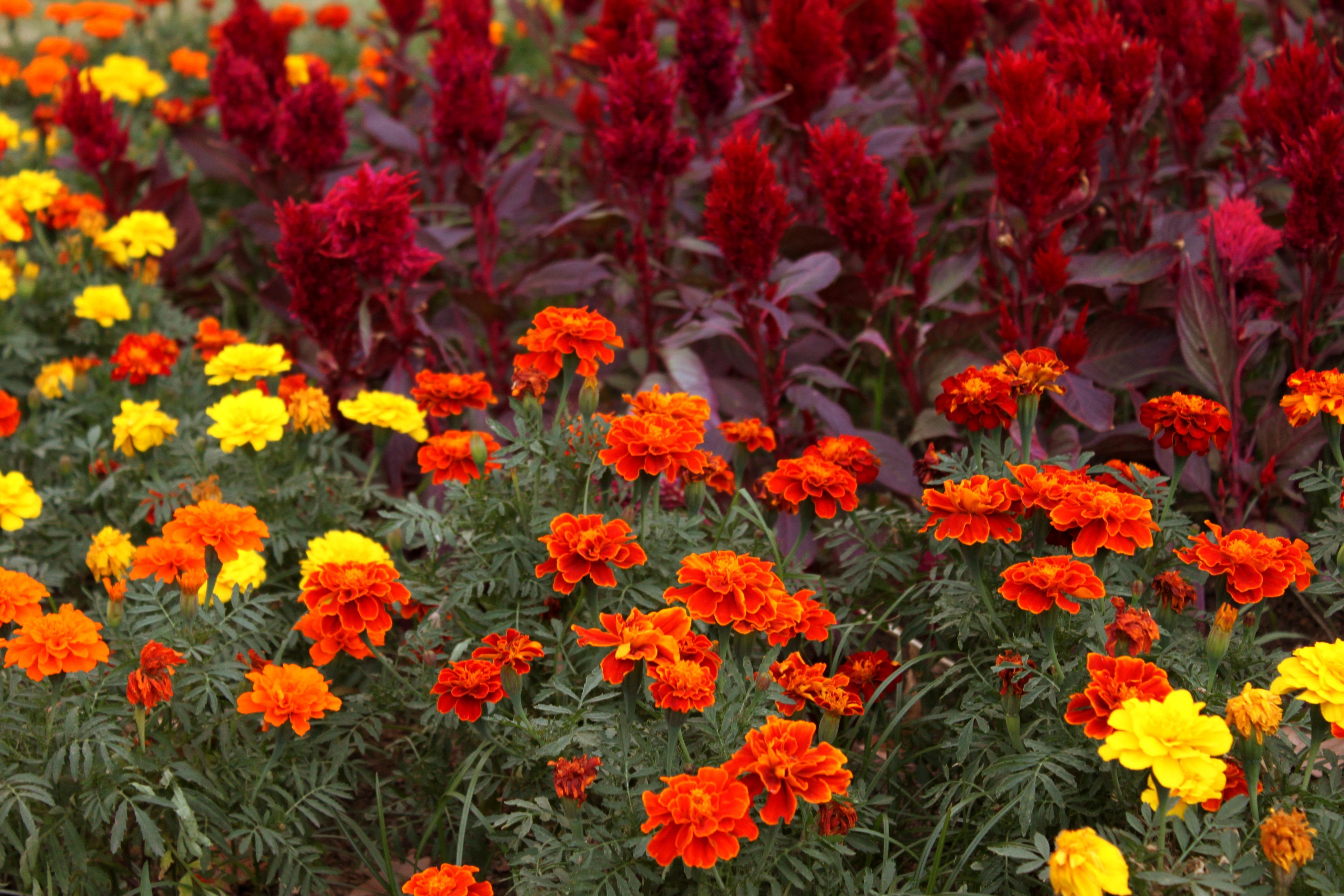 порочная цветы однолетники цветущие все лето картинки популярные вислоухие