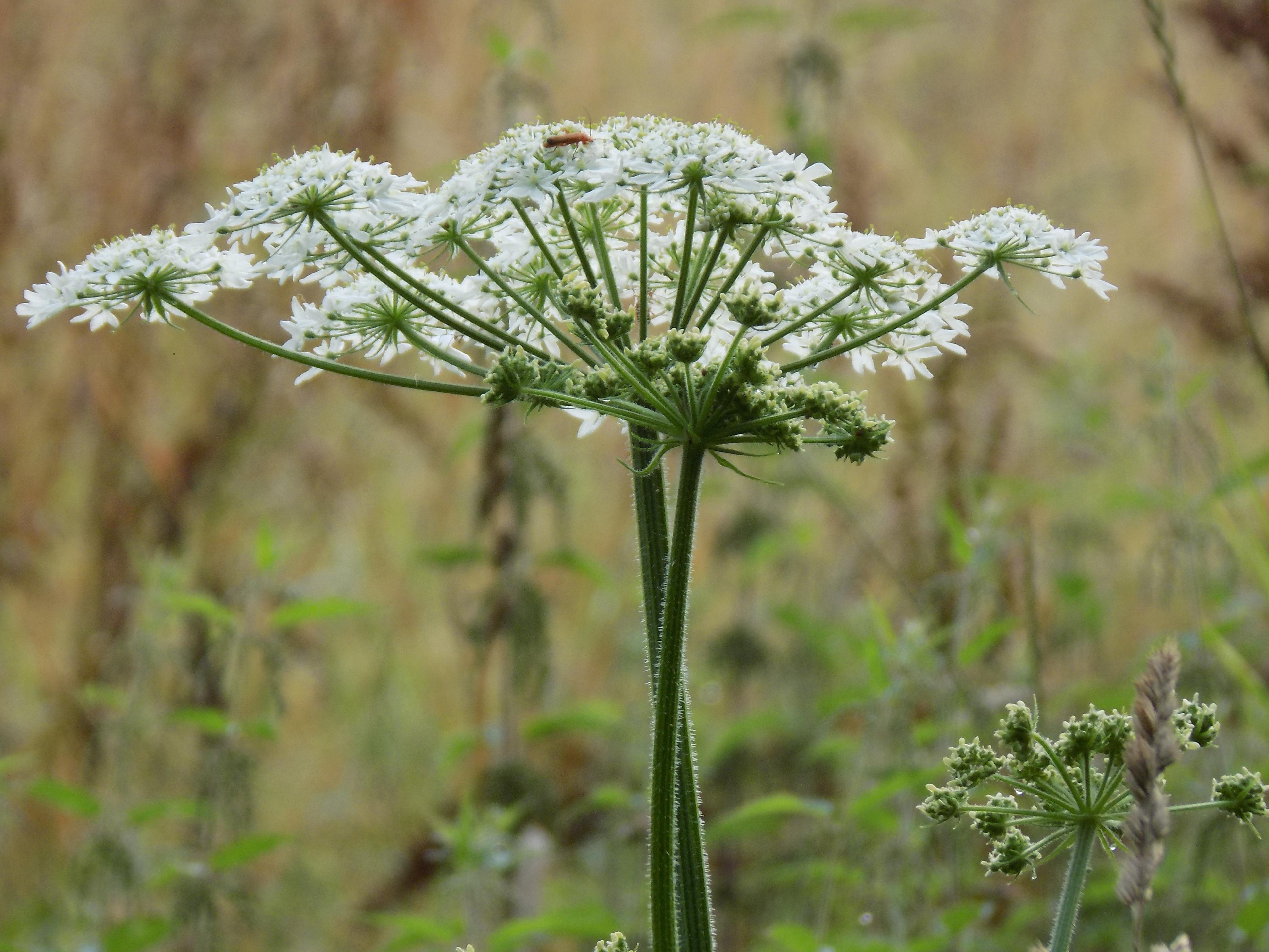 Images gratuites prairie prairie fleur herbe for Plante angelique