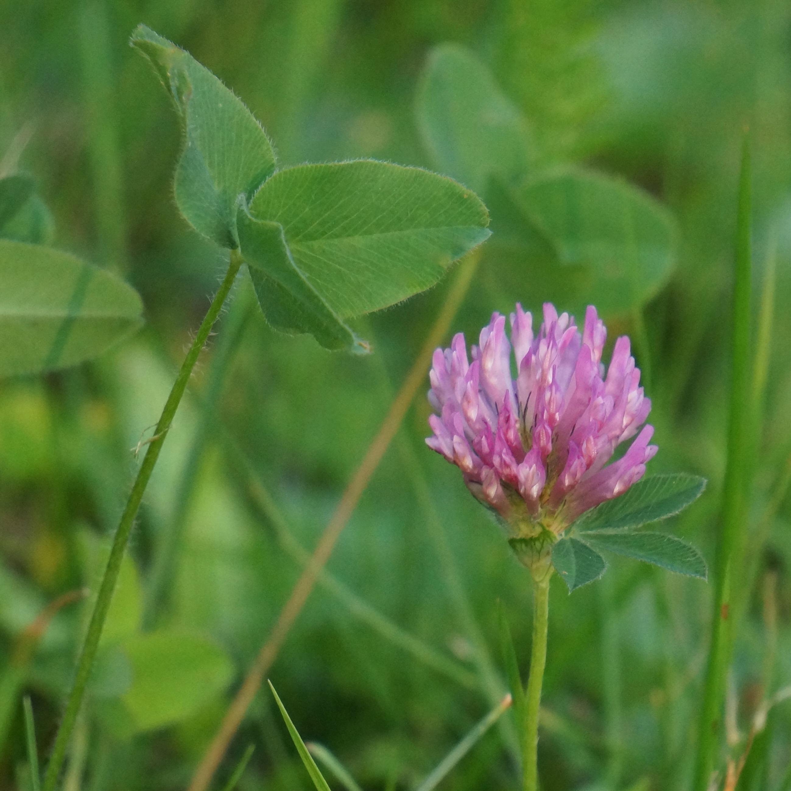 Plante feuille trefle fleur rose id e d 39 image de fleur for Plante annuelle