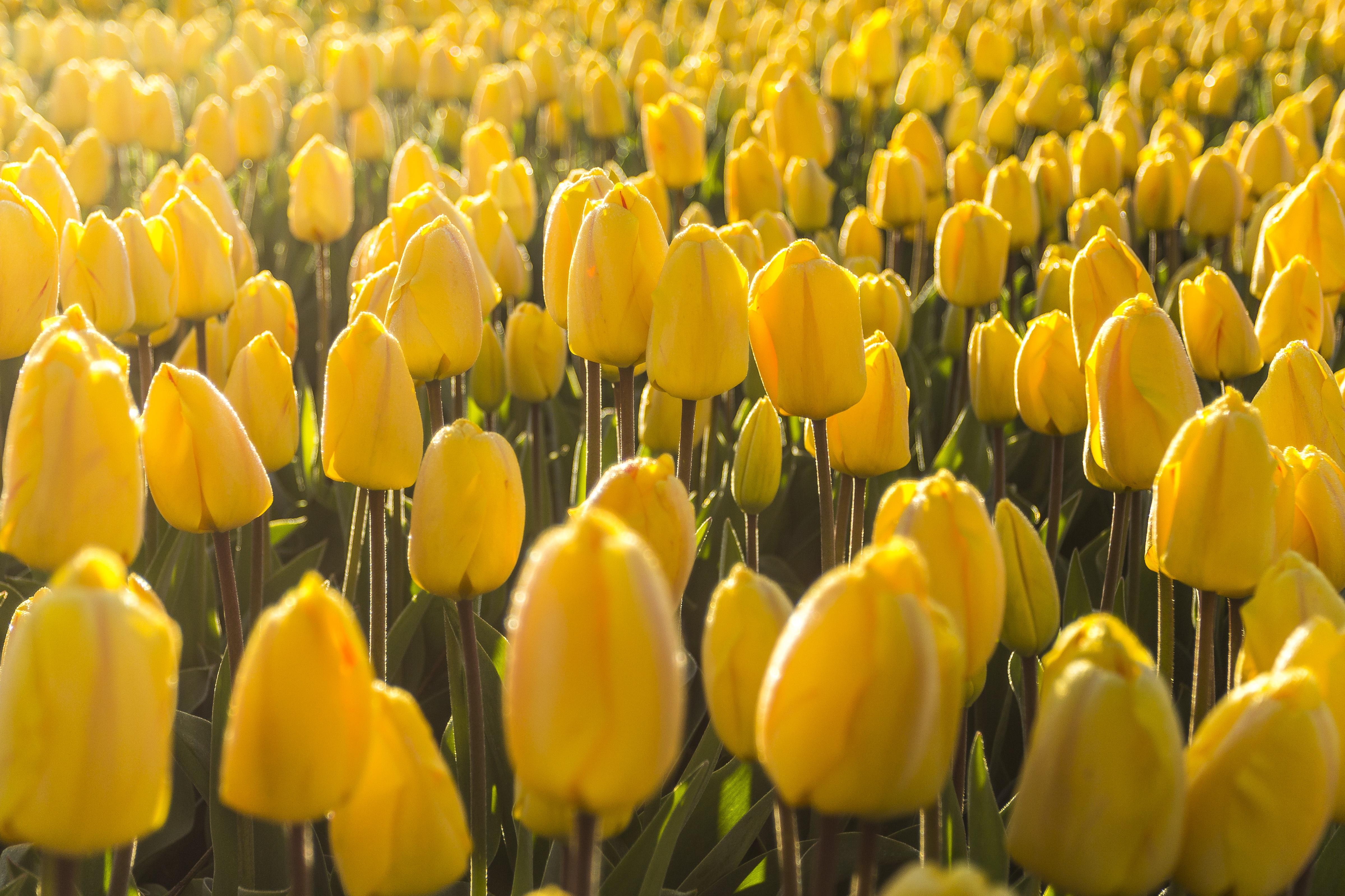 Free Images Morning Flower Petal Bloom Tulip Spring Color
