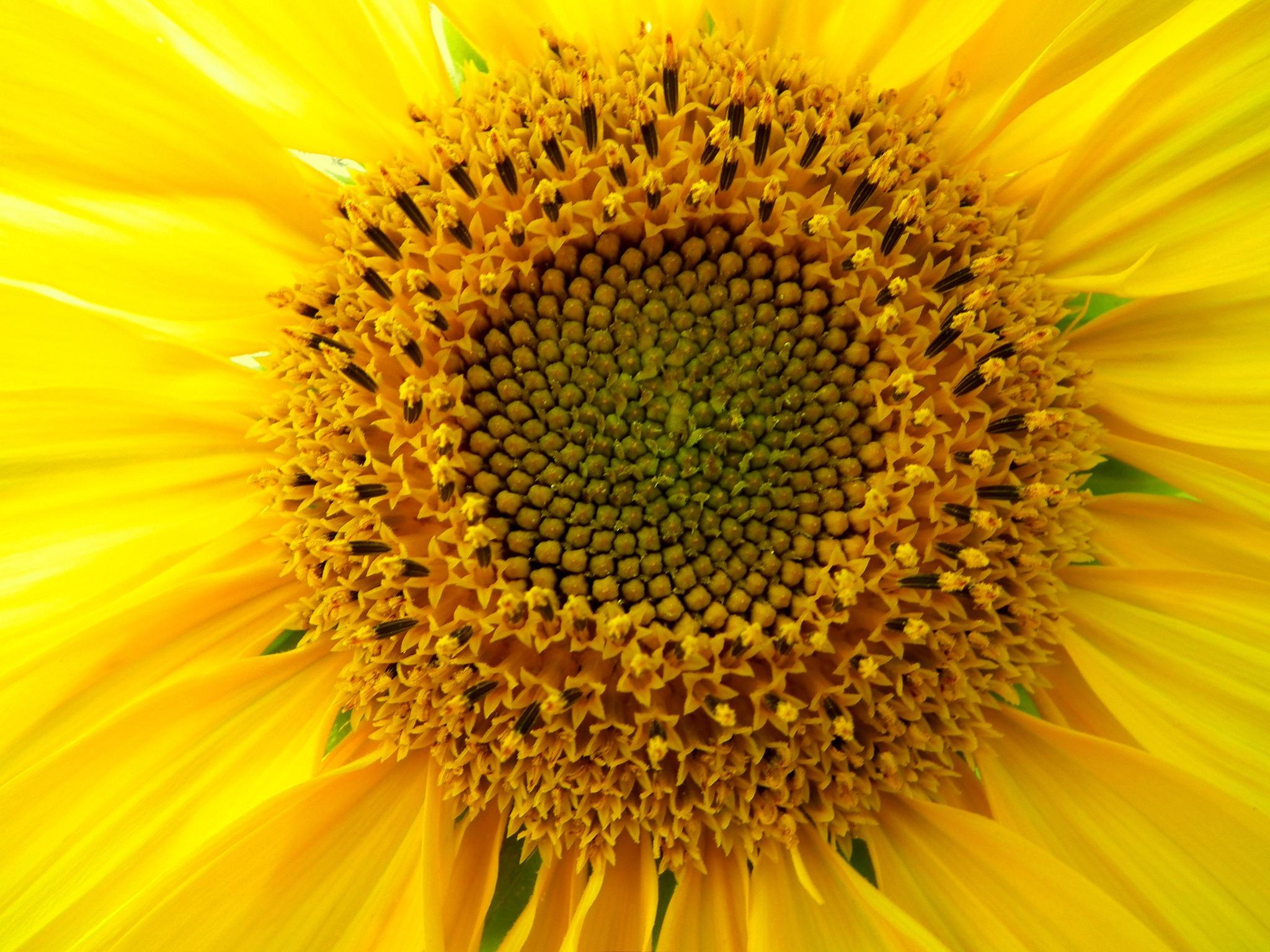 images gratuites la photographie p tale pollen jaune flore fermer ensoleill brillant. Black Bedroom Furniture Sets. Home Design Ideas