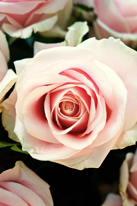 Free Images Petal Food Red Pink Close Up Floristry Macro