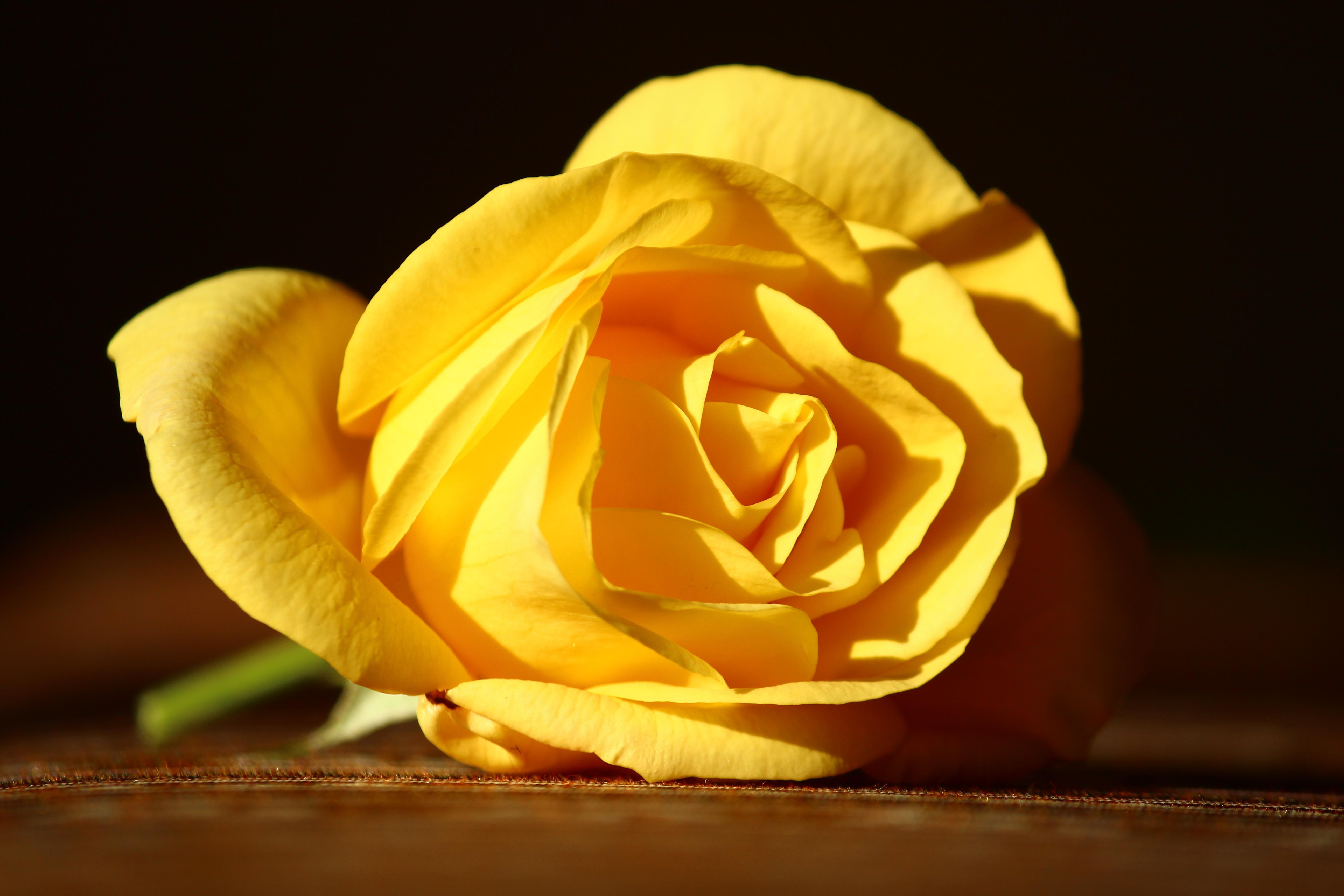 Одна желтая роза картинка