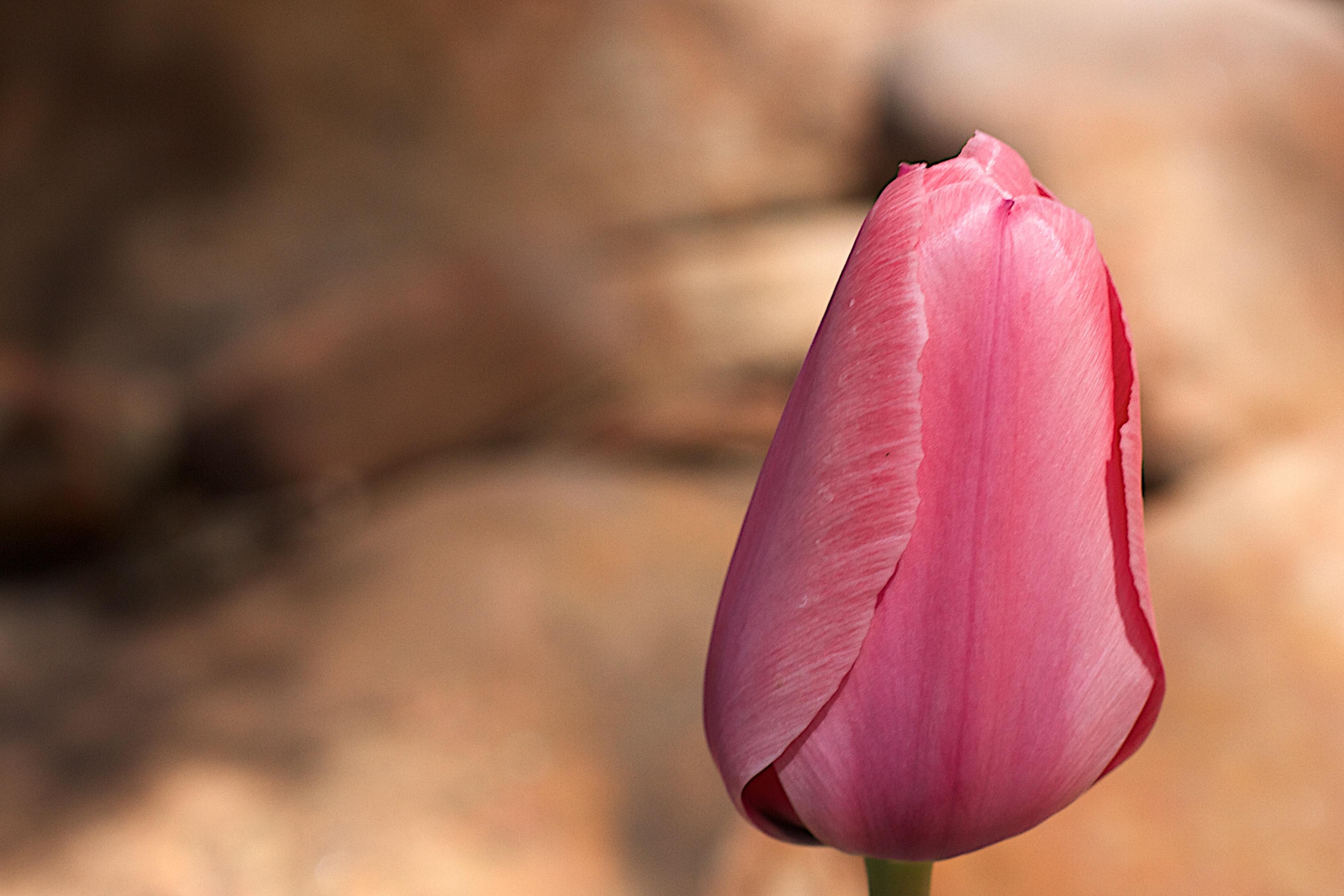 фото тюльпана крупным планом в хорошем качестве близки эти слова