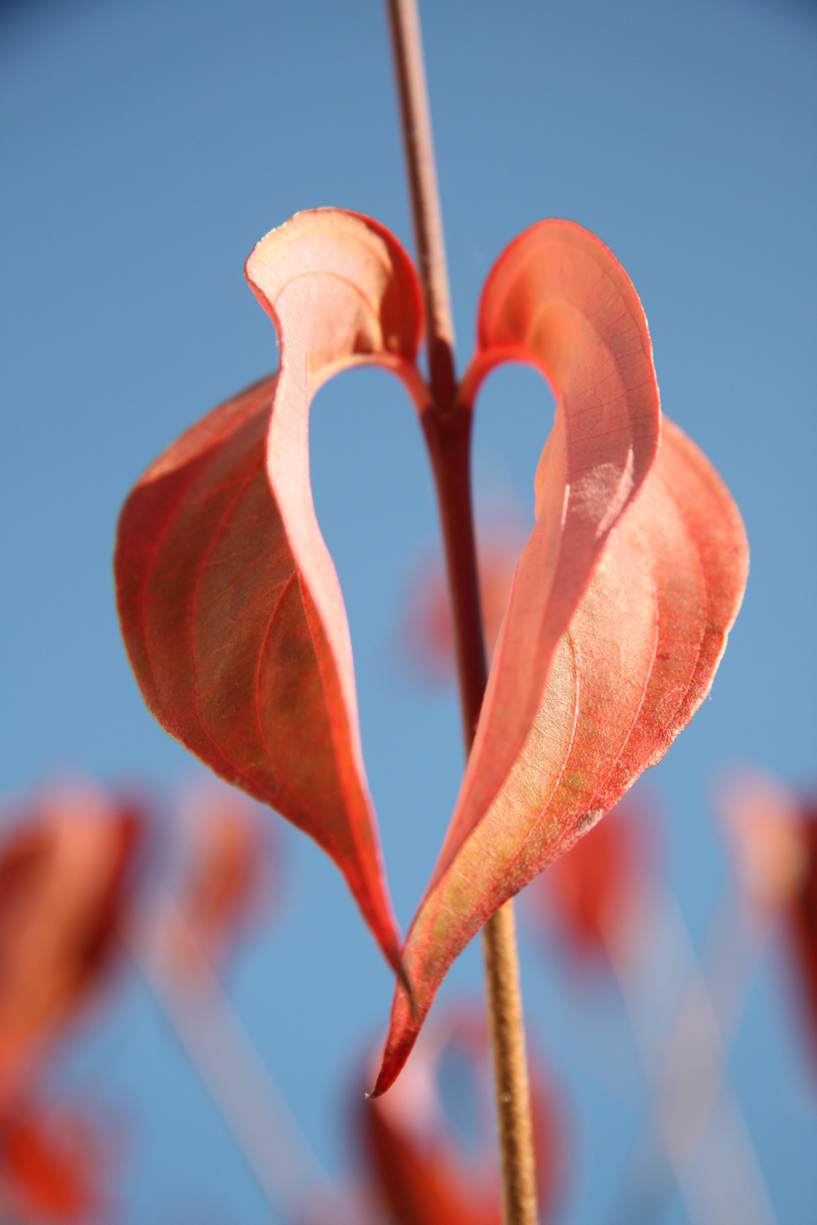 Free Images Leaf Flower Petal Love Red Symbol Romantic