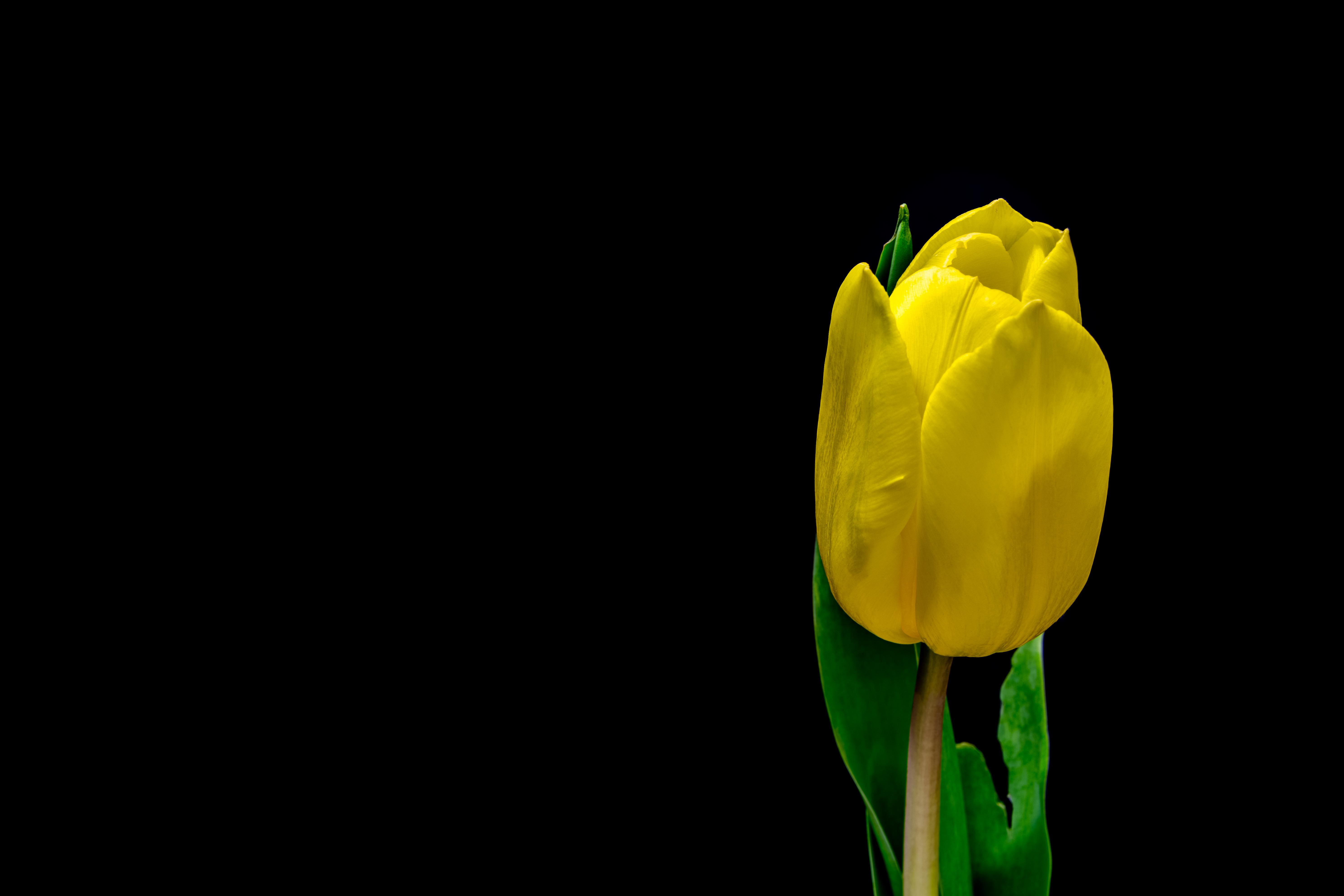 всему миру тюльпаны на темном фоне картинки том, зачем сюда