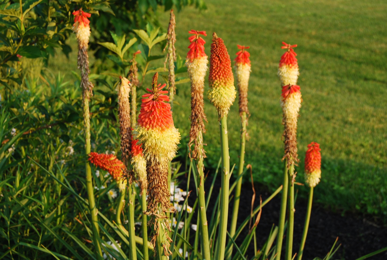 images gratuites prairie fleur t botanique agriculture flore xanthorrhoeaceae plante. Black Bedroom Furniture Sets. Home Design Ideas