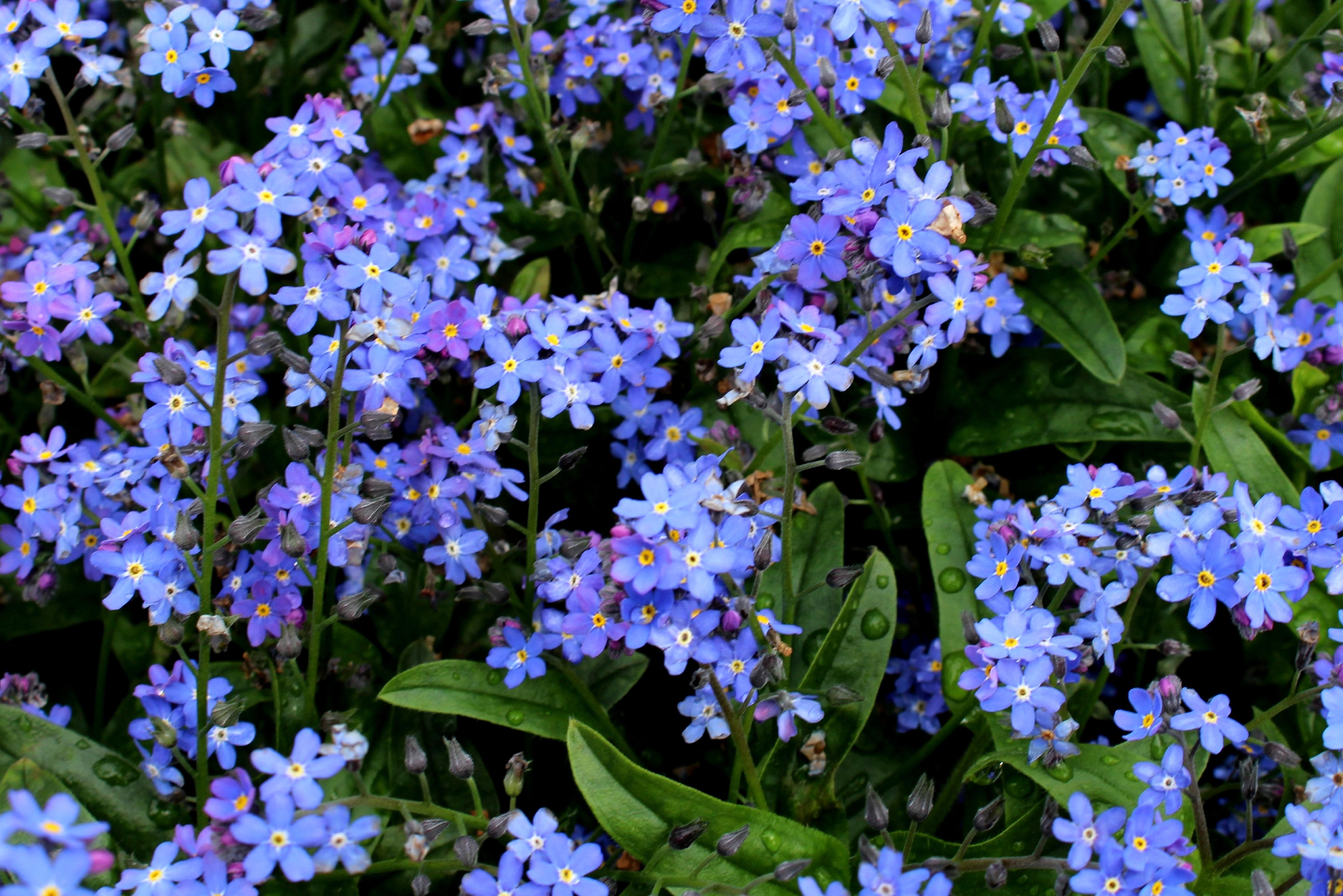 Fotos Gratis : Lluvia, Florecer, Azul, Flor Silvestre