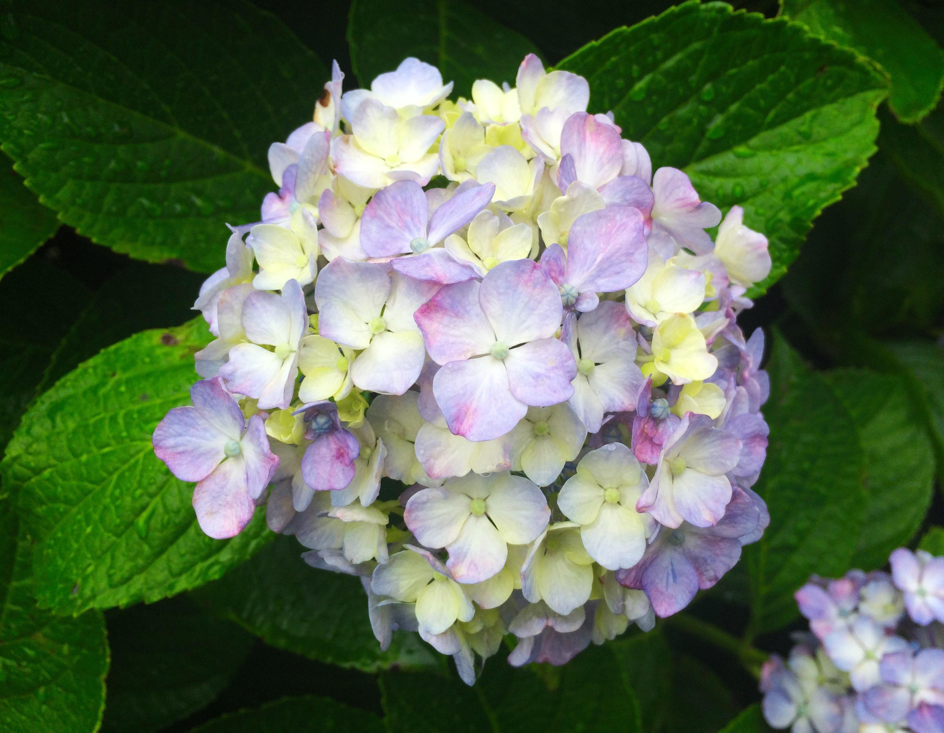 Free Images : rain, leaf, flower, petal, green, color, blue, japan ...