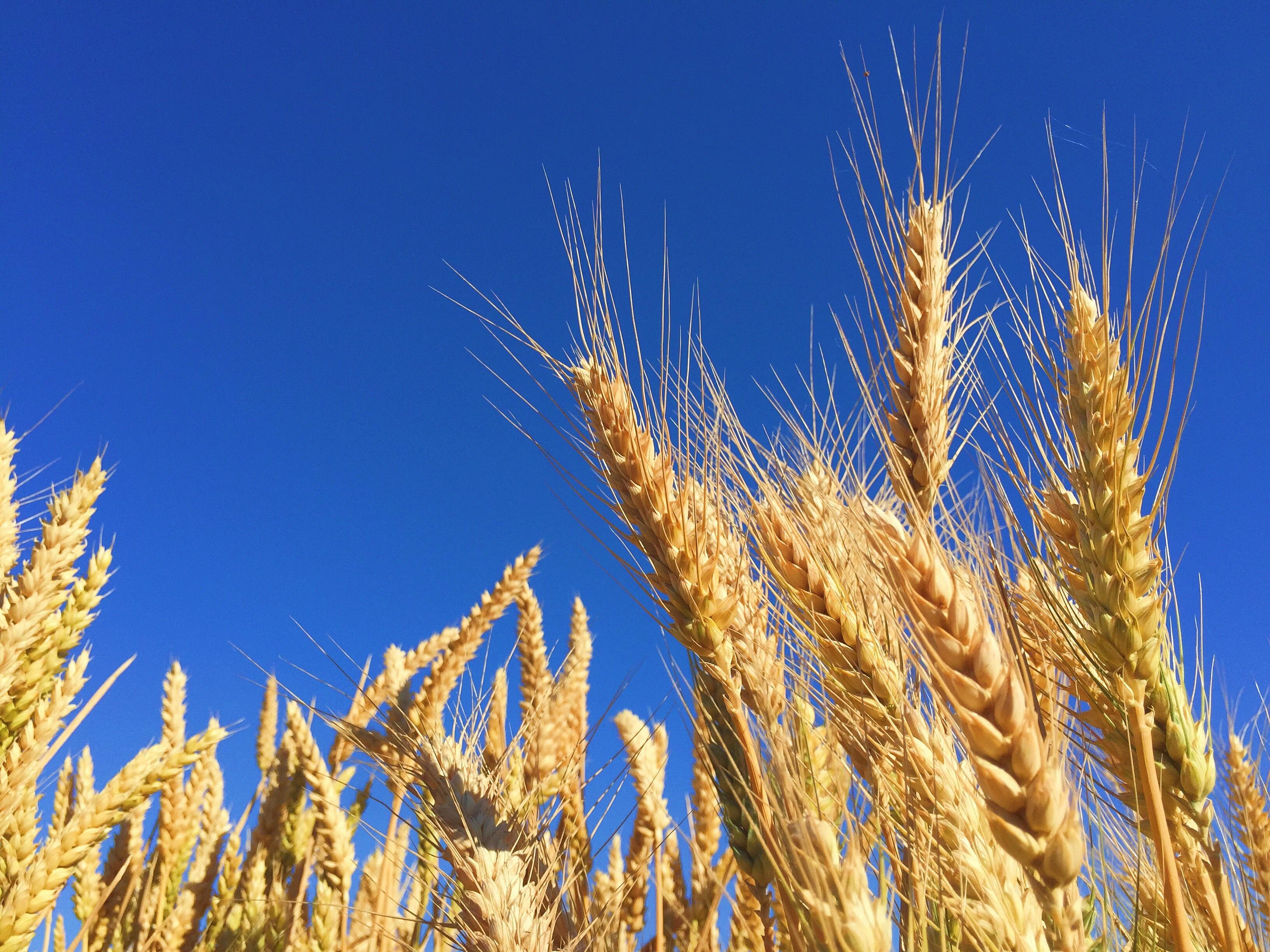 Free Images : sky, field, barley, prairie, crop, agriculture