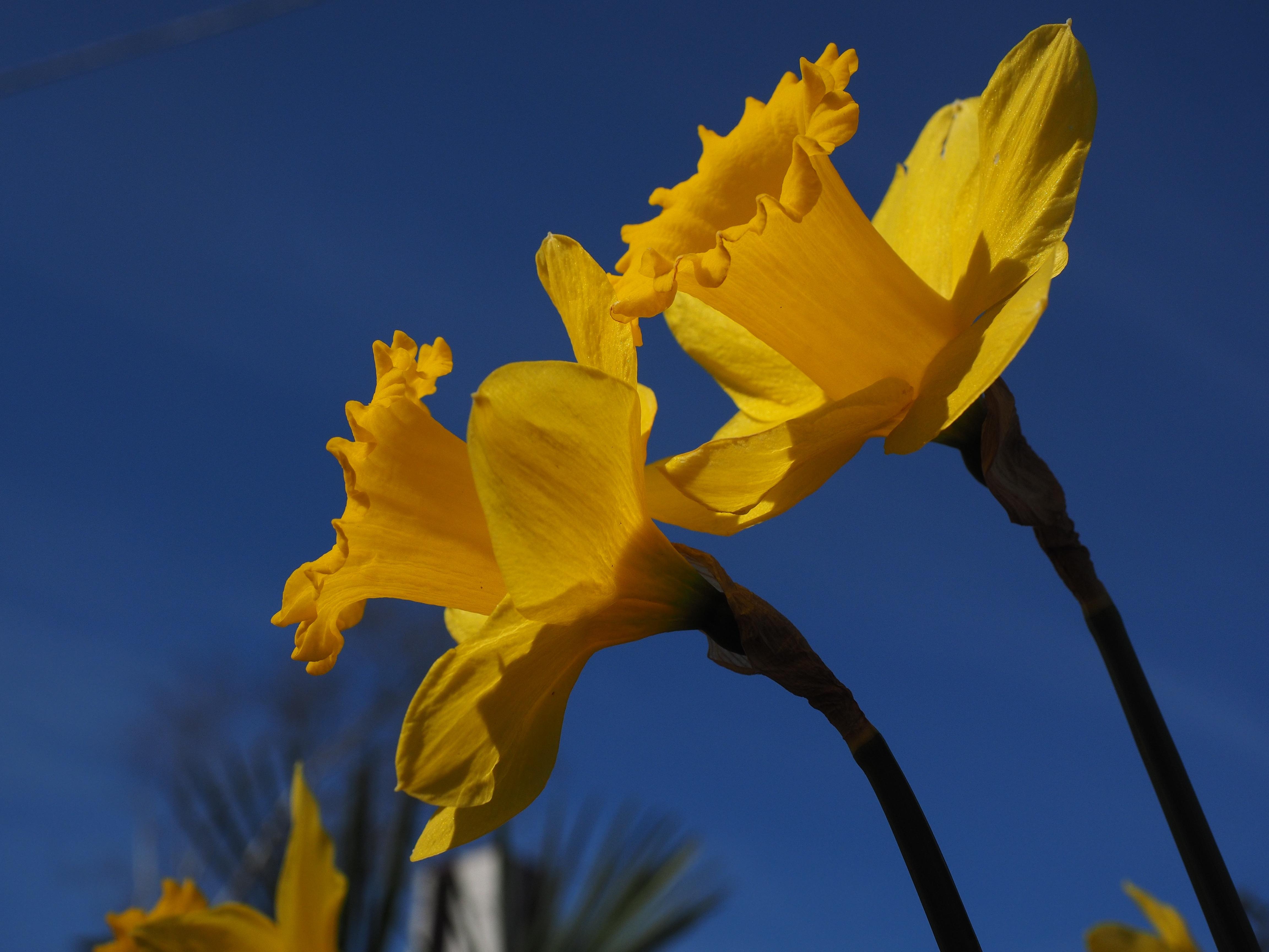 Images gratuites ciel lumi re du soleil fleur p tale for Amaryllis jaune
