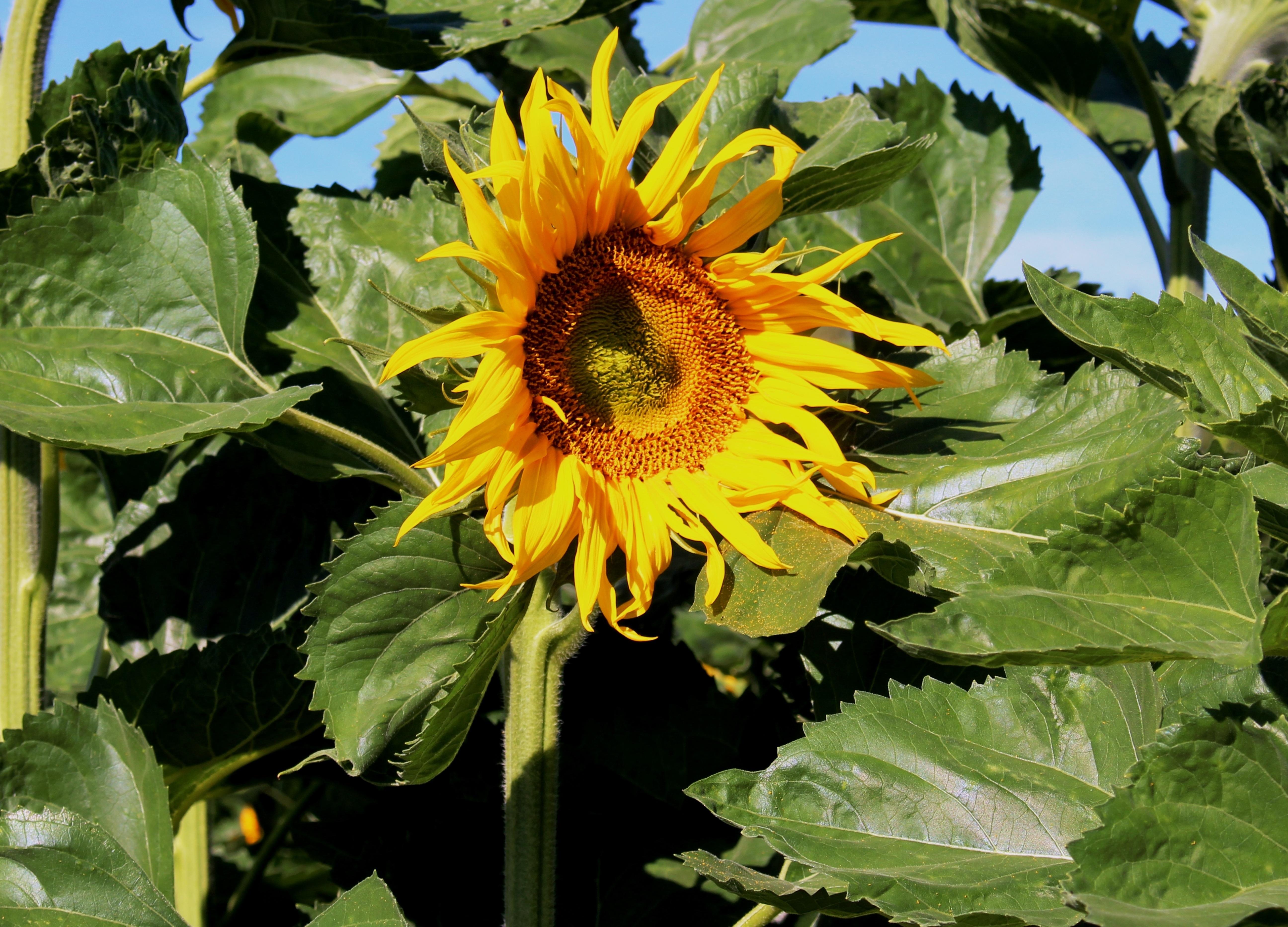 Download 80 Gambar Bunga Matahari Beserta Keterangannya Paling Keren